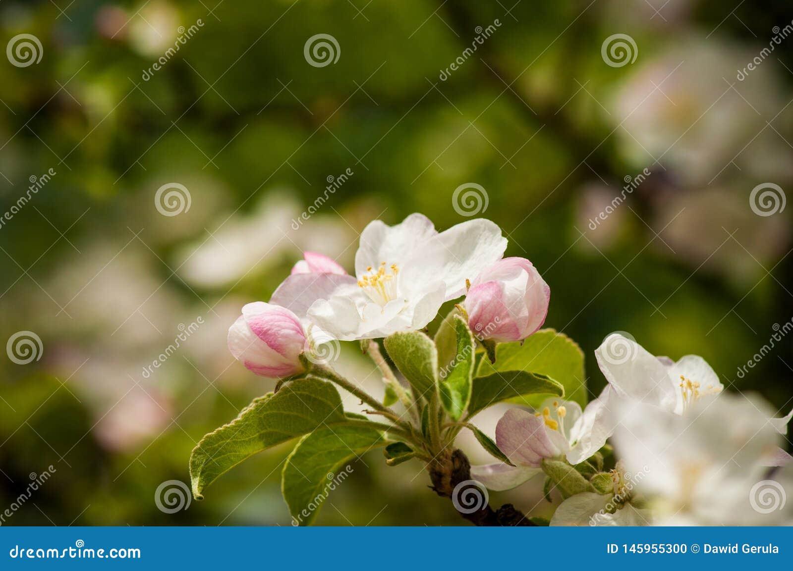 Fiori bianchi sboccianti della molla della primavera con forte bokeh