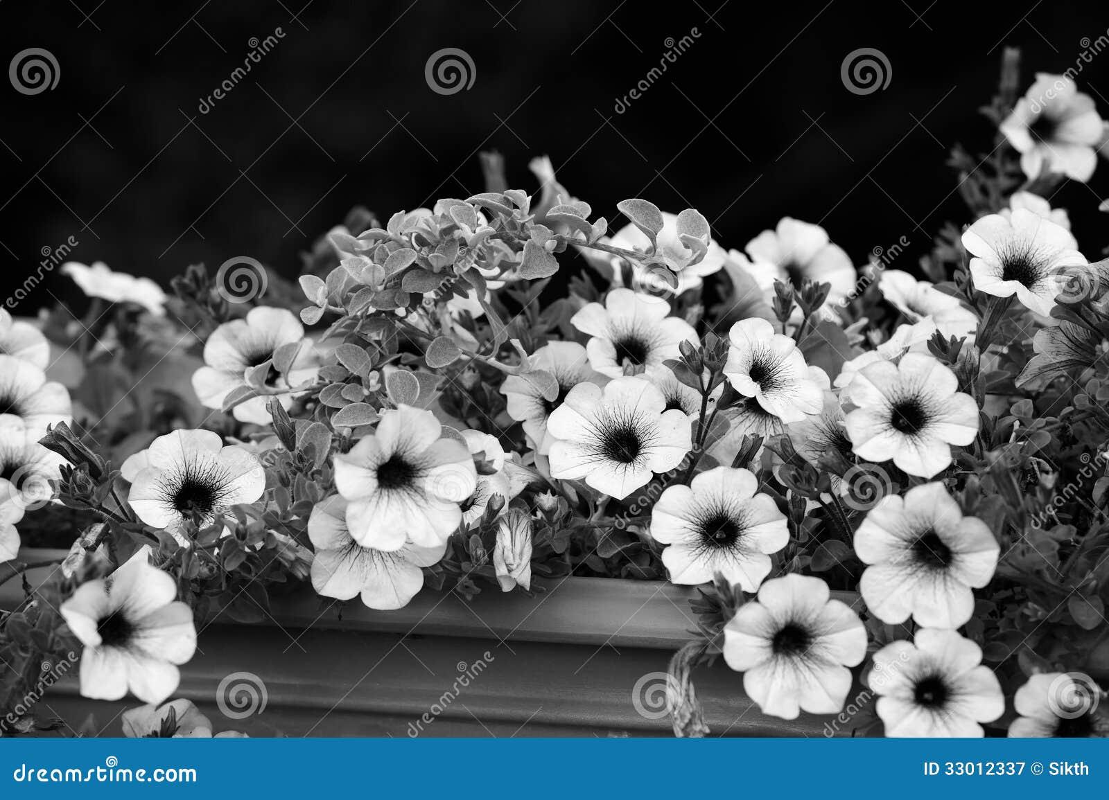 immagini di riserva di Fiori Bianco E Nero Della Petunia , la sovranità di  download 84 libera le foto