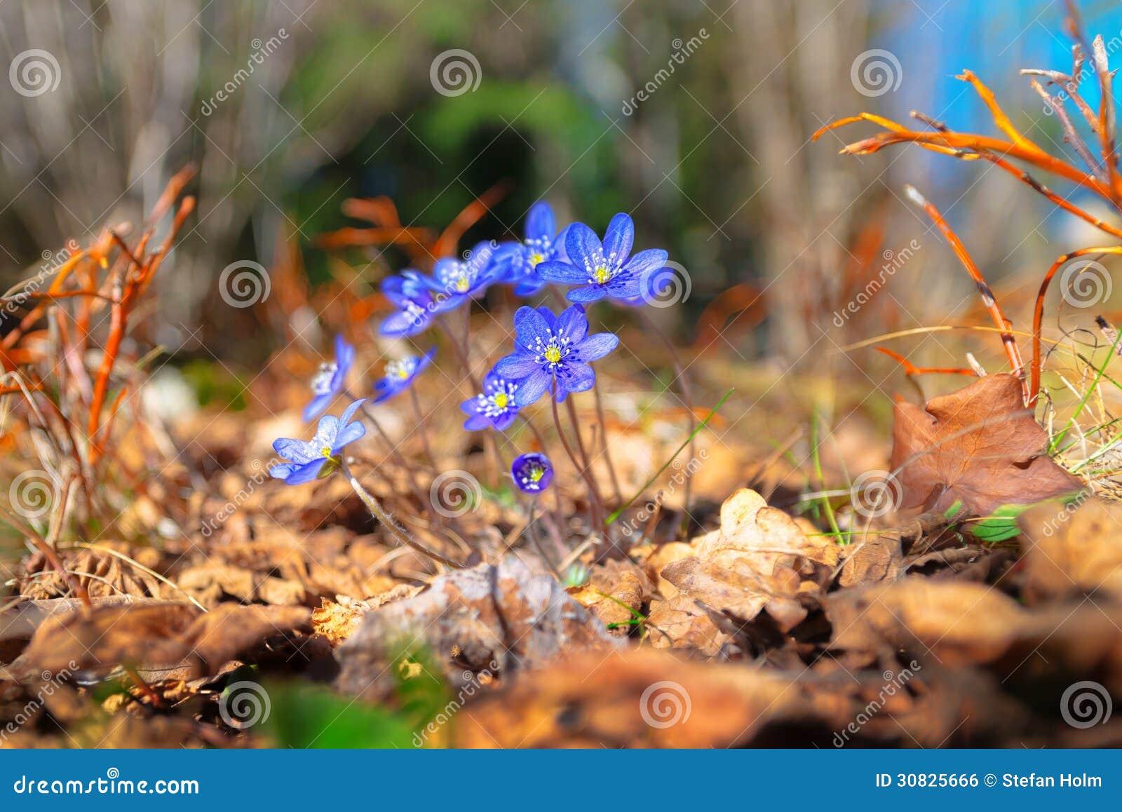 Fiori blu in foresta