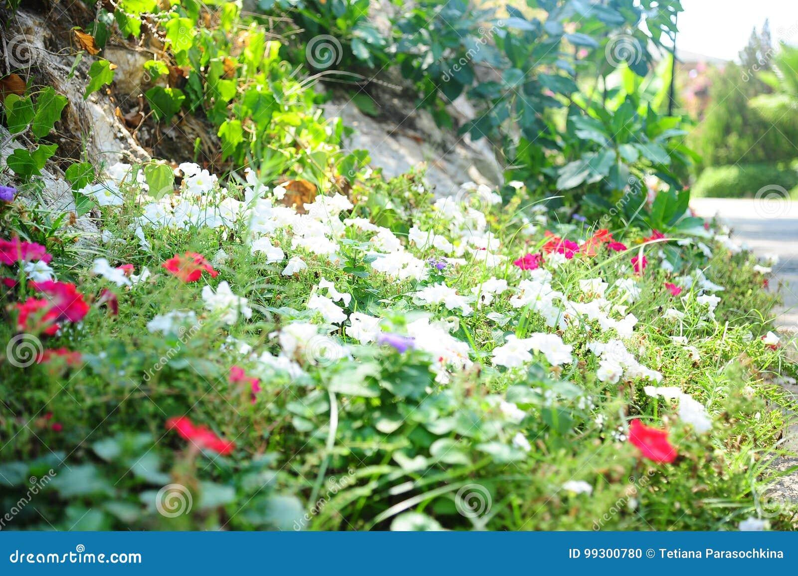 Fiori chiazzati che rimuovono radura, rosso, bianco