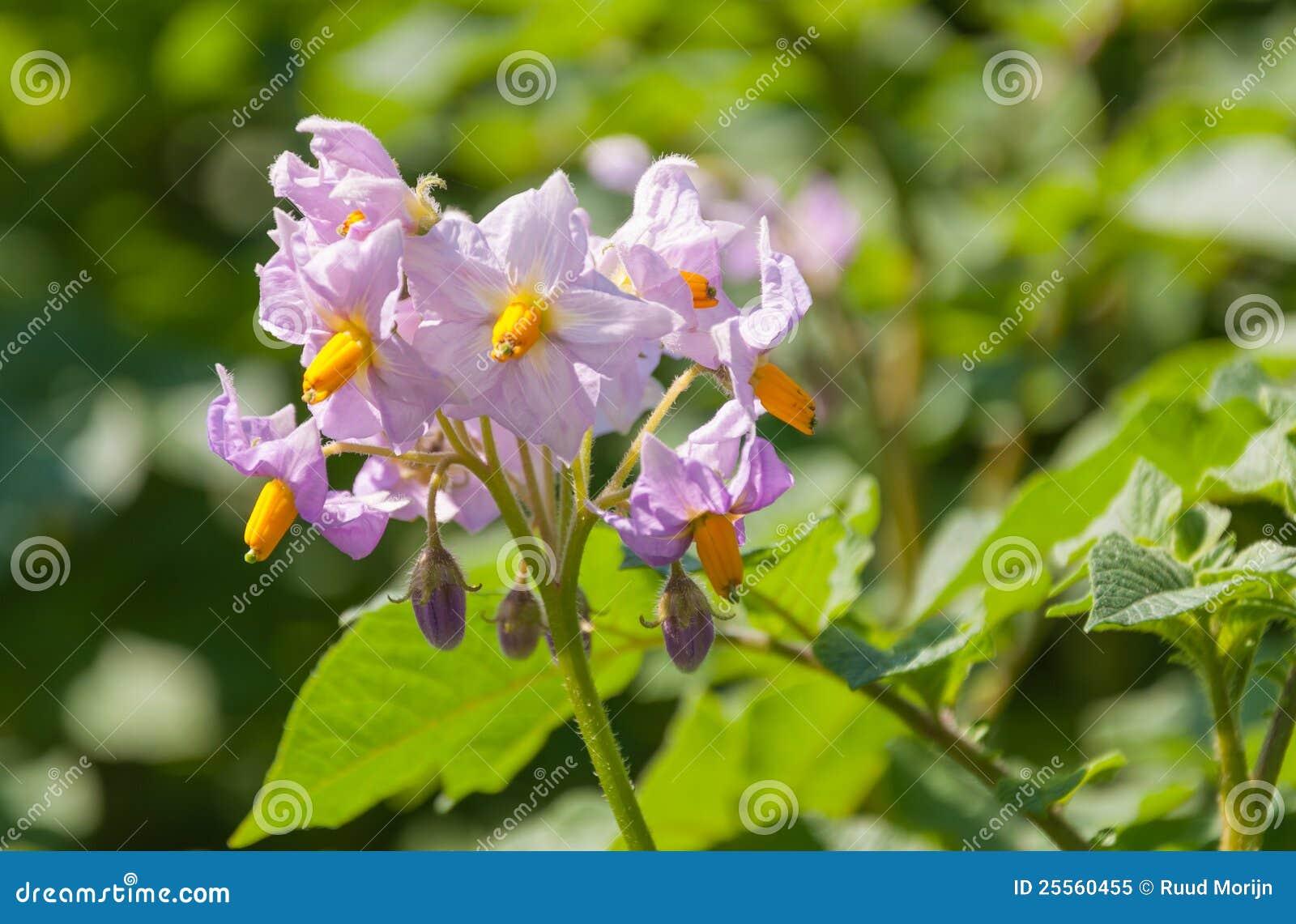Fiori colorati viola in una pianta di patate fotografia for Pianta fiori viola
