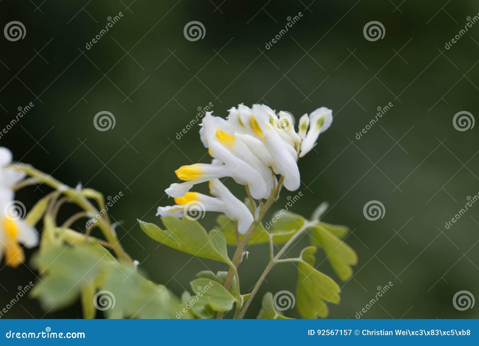 Fiori dei capnoides del Corydalis