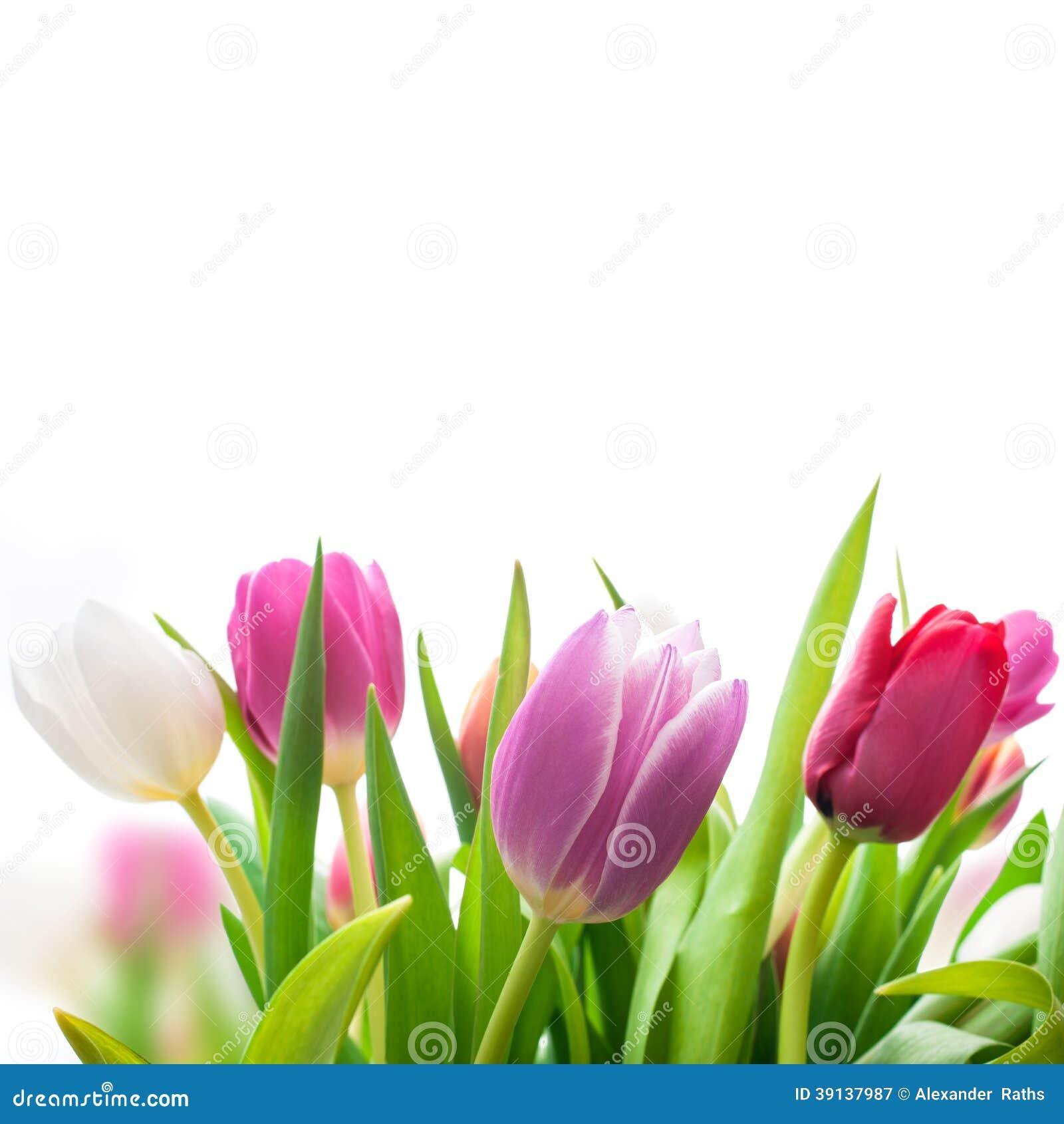 Fiori dei tulipani della primavera