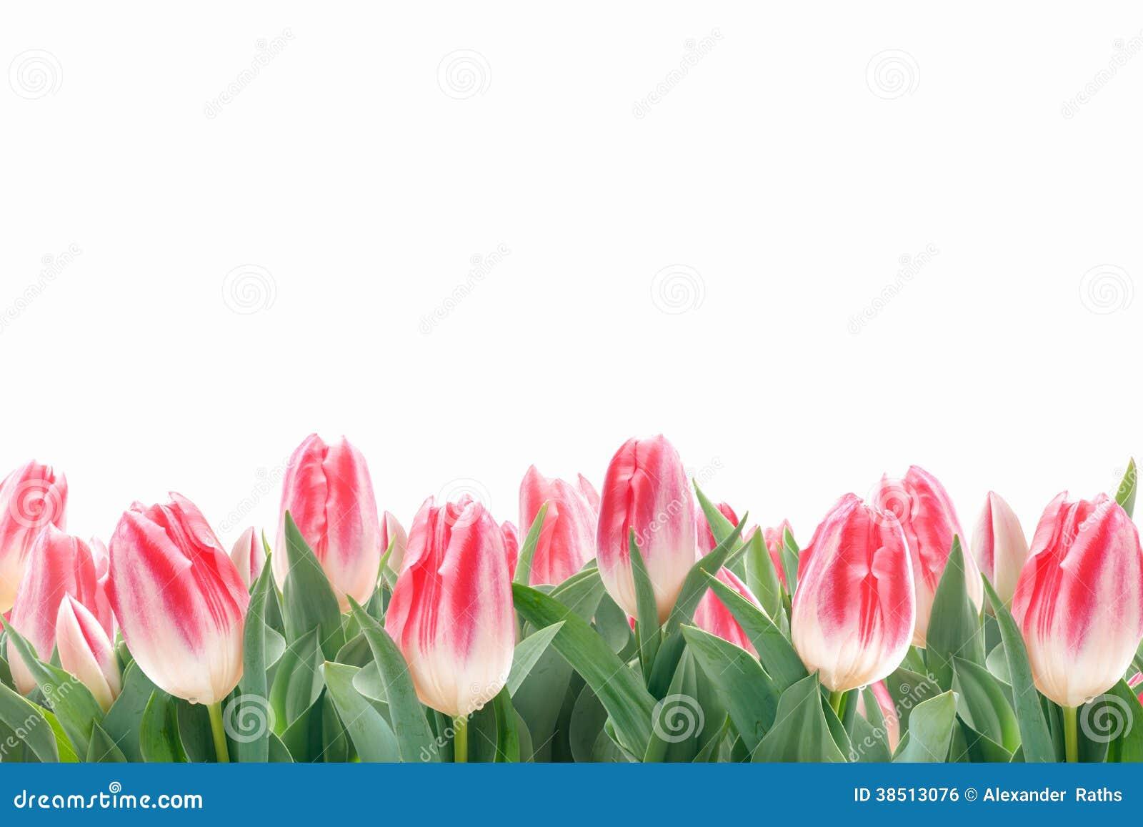 Fiori dei tulipani della primavera in erba verde