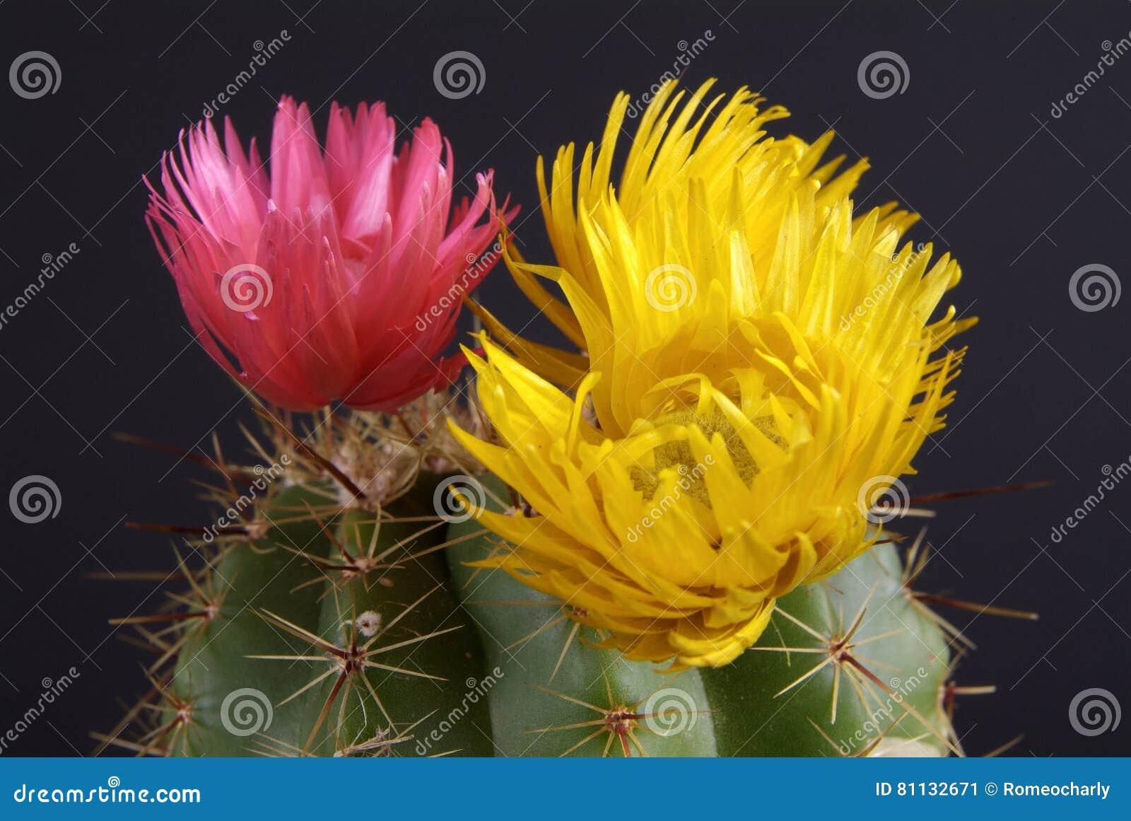 Fiori del cactus sul nero