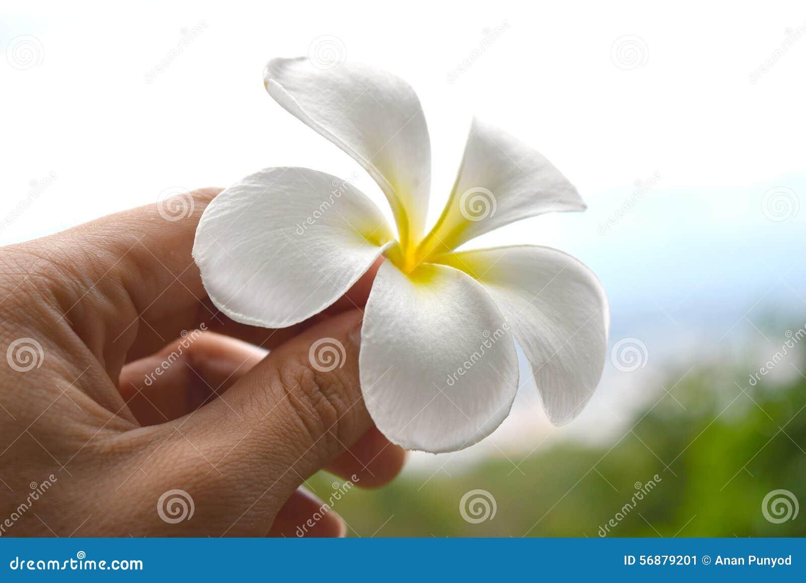 Fiori del frangipane della tenuta (fiore giallo bianco di plumeria)