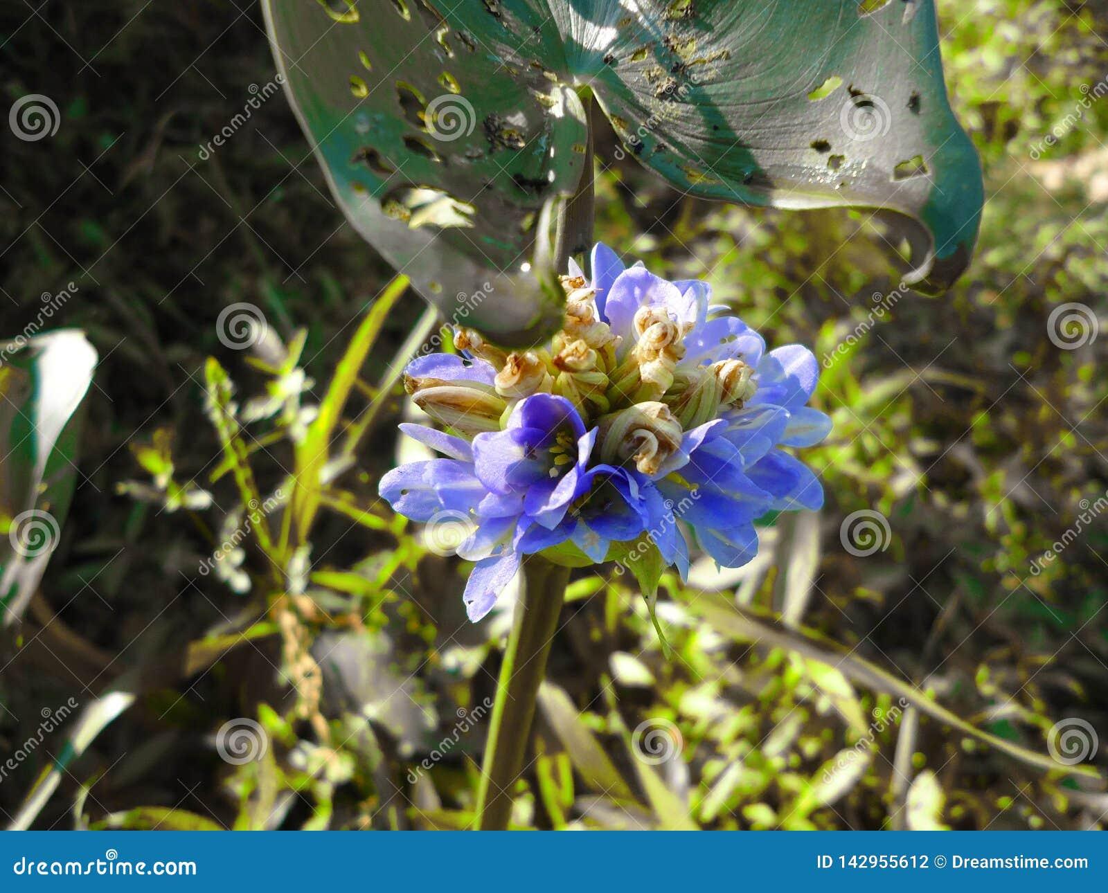 Fiori del giacinto, giacinto