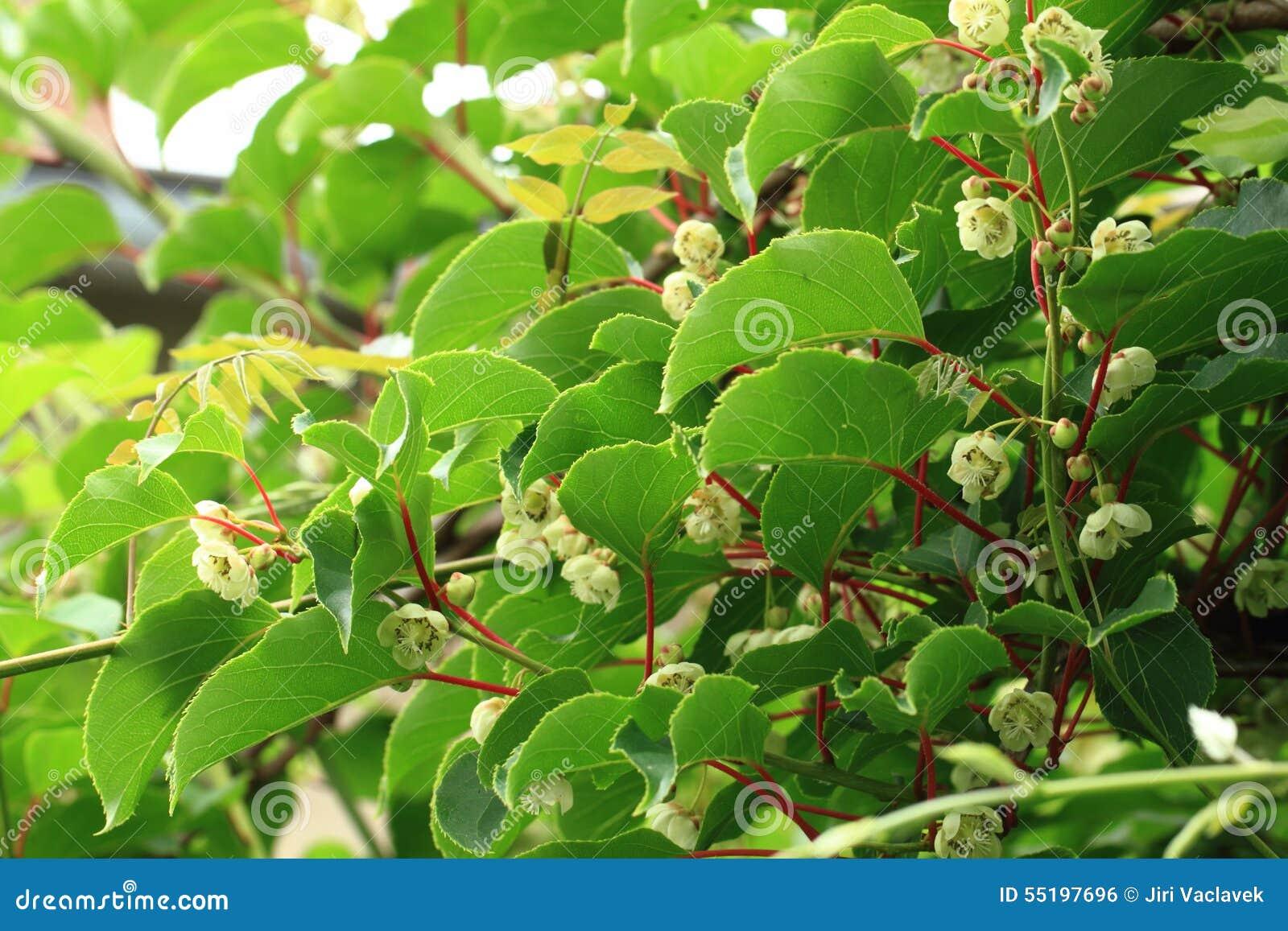 Fiori del kiwi e pianta actinidia fotografia stock for Kiwi pianta