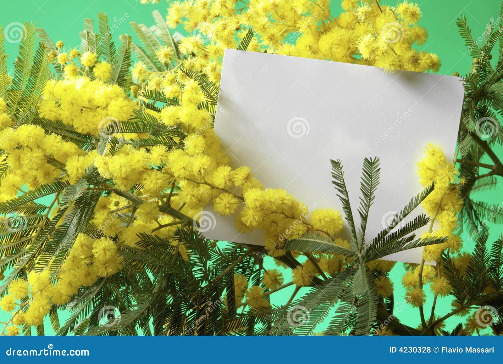 Fiori del mimosa con la scheda in bianco fotografia stock for Fiori con la p
