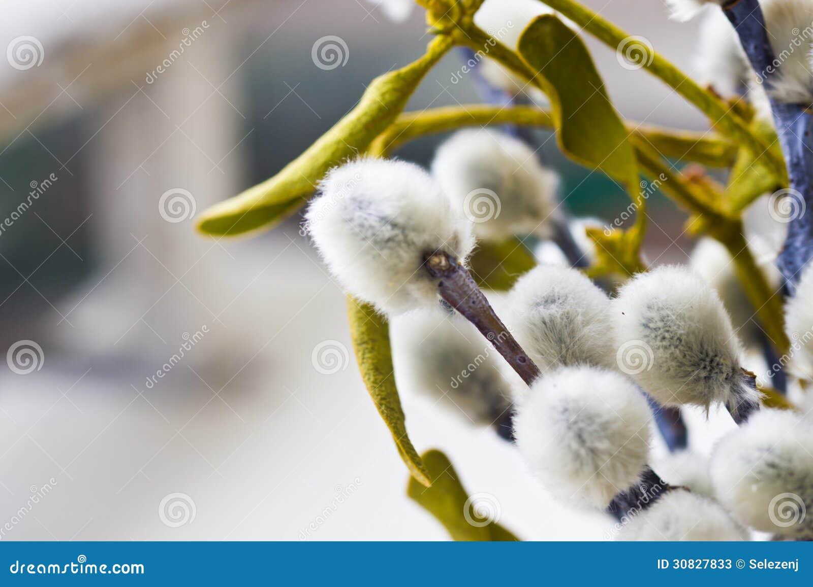 Fiori del salice