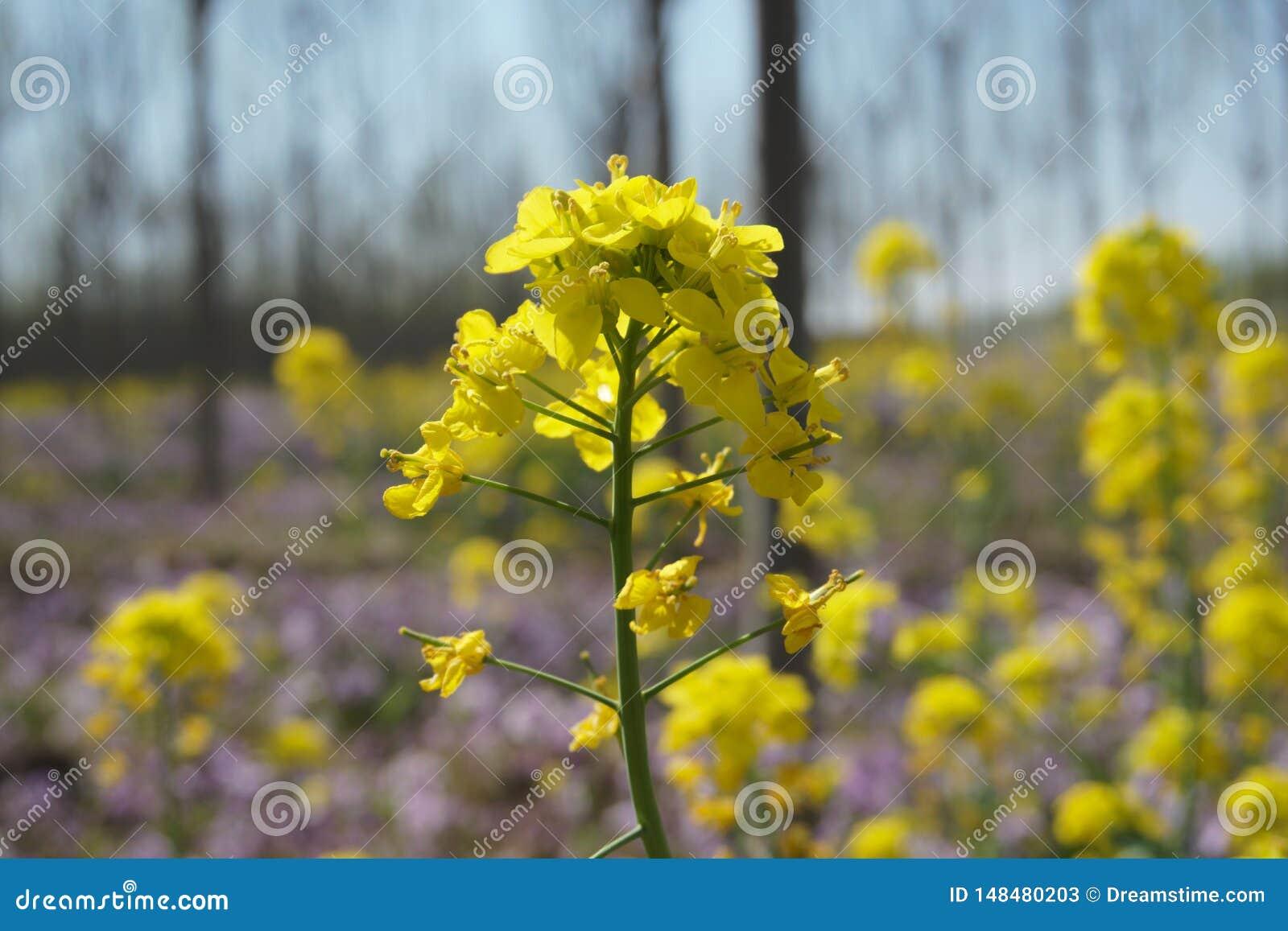 Fiori del seme di ravizzone