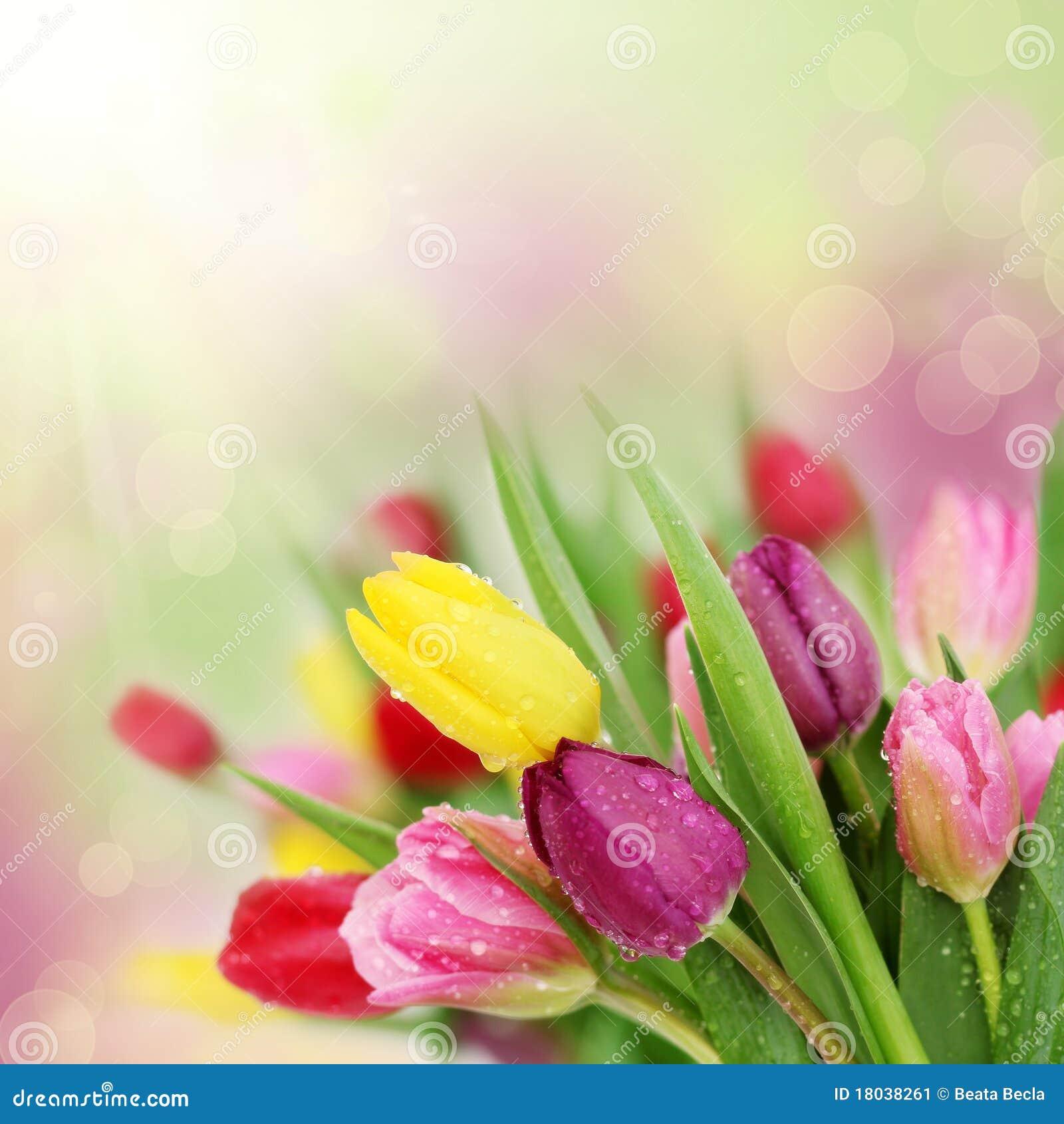 Fiori del tulipano della sorgente