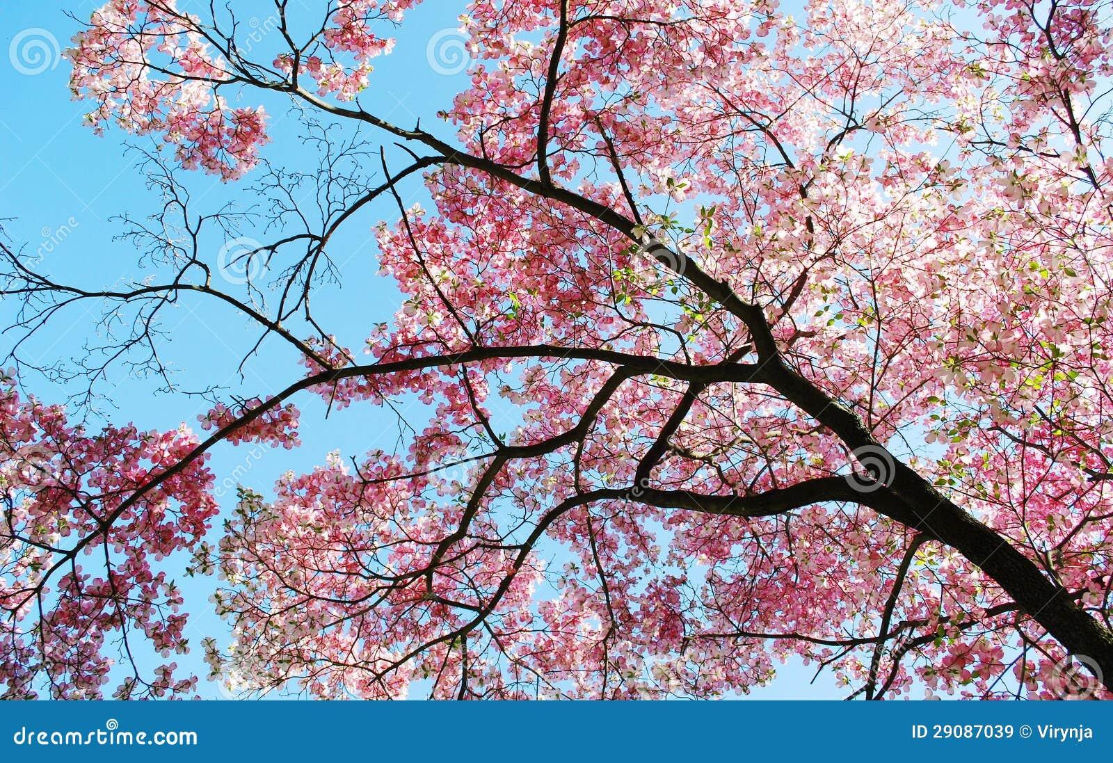 Fiori dell 39 albero della magnolia della sorgente immagine for Magnolia pianta prezzi