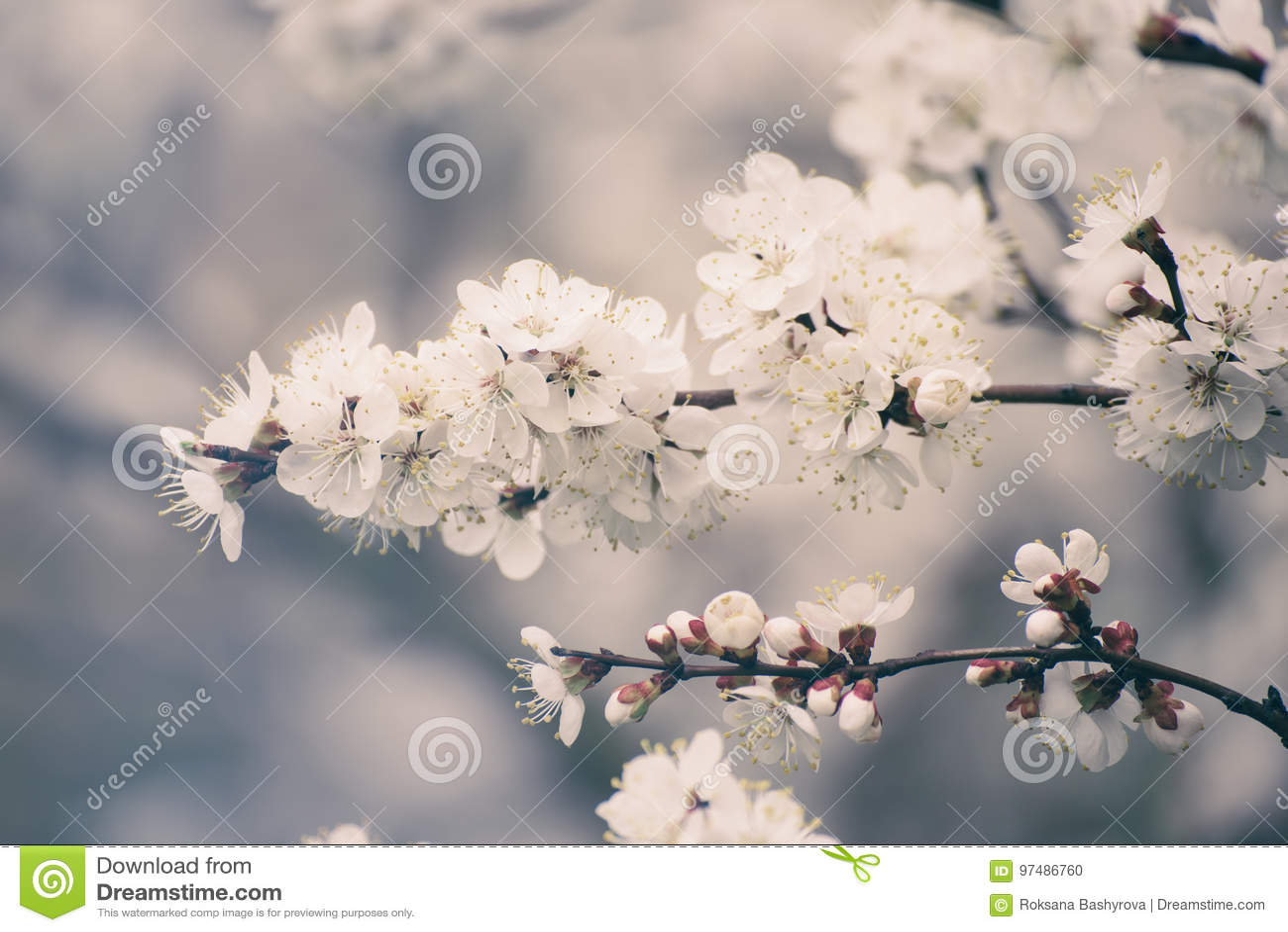 Fiori dell albero di albicocca