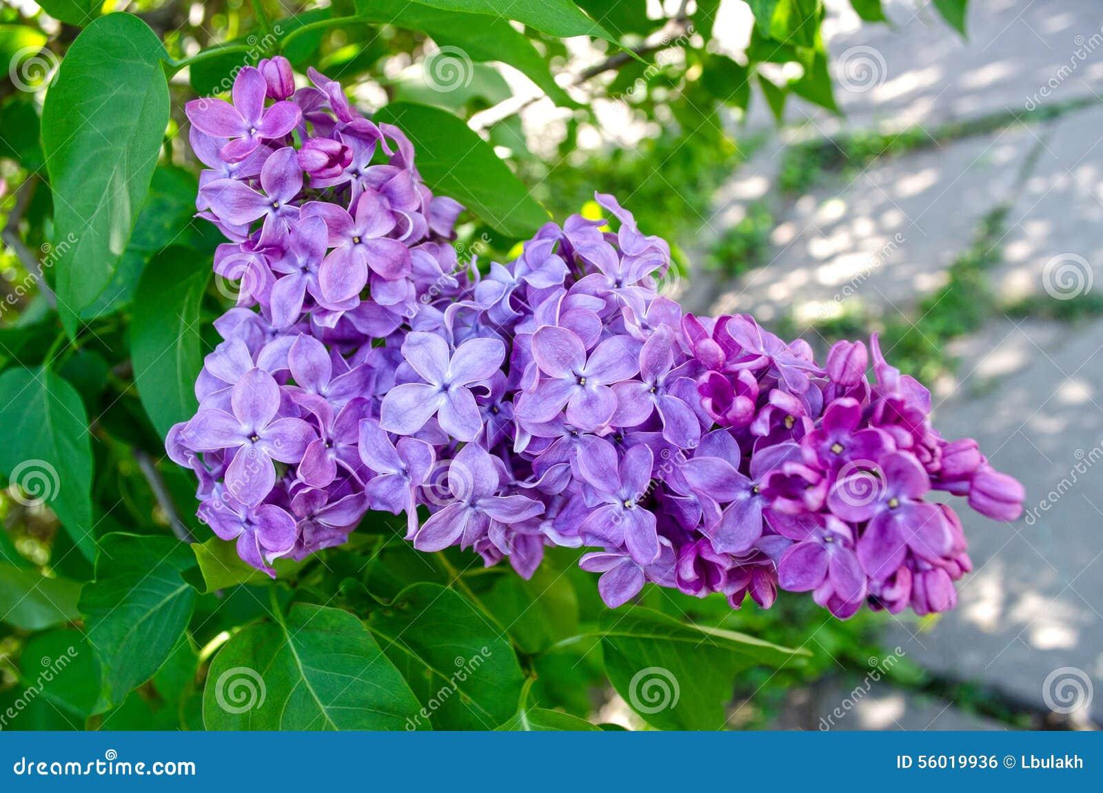 albero fiori lilla