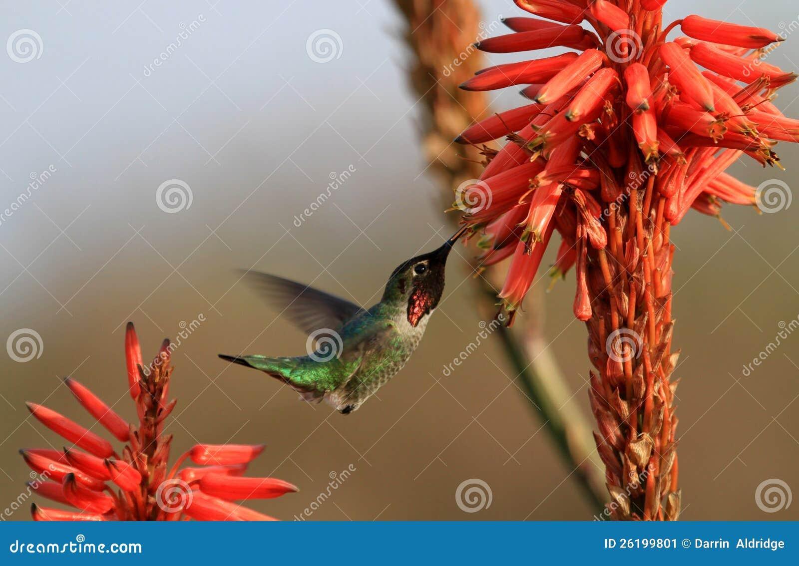Fiori dell aloe e del colibrì