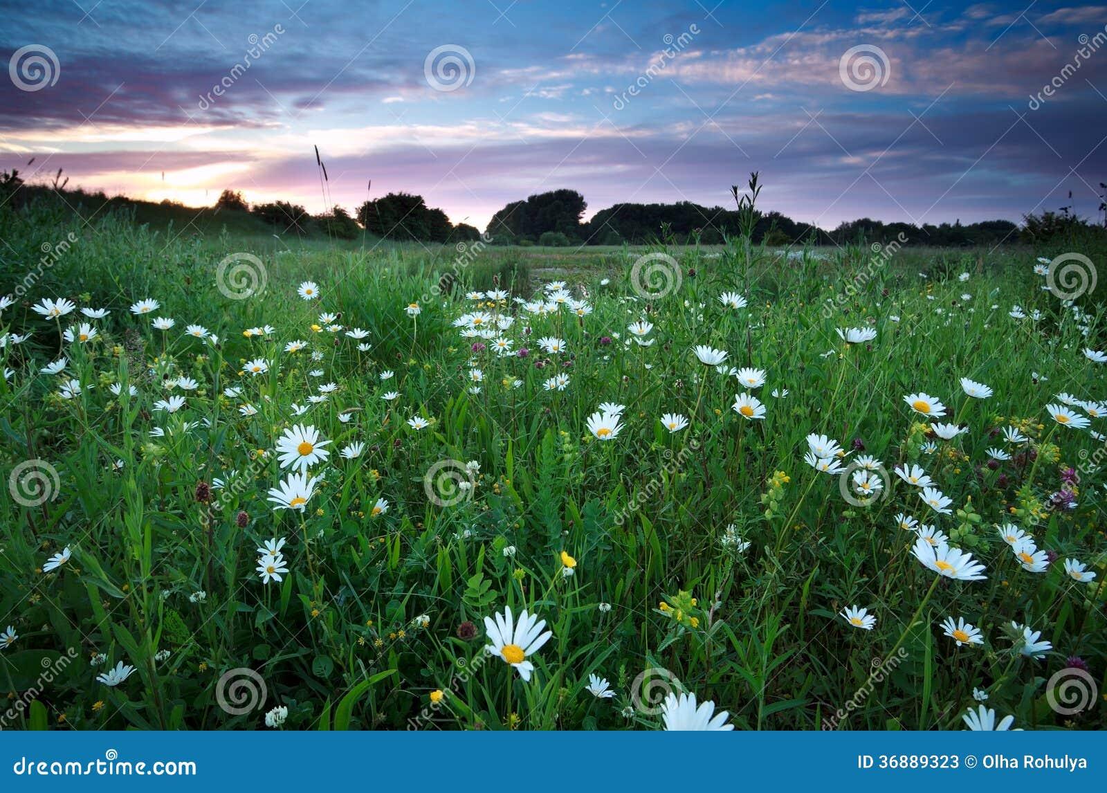 Download Fiori Della Camomilla Sui Prati Di Estate Al Tramonto Immagine Stock - Immagine di chamomile, cielo: 36889323