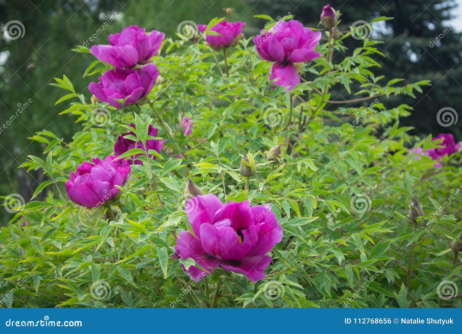 Fiori della casa di campagna del giardino di estate della peonia per
