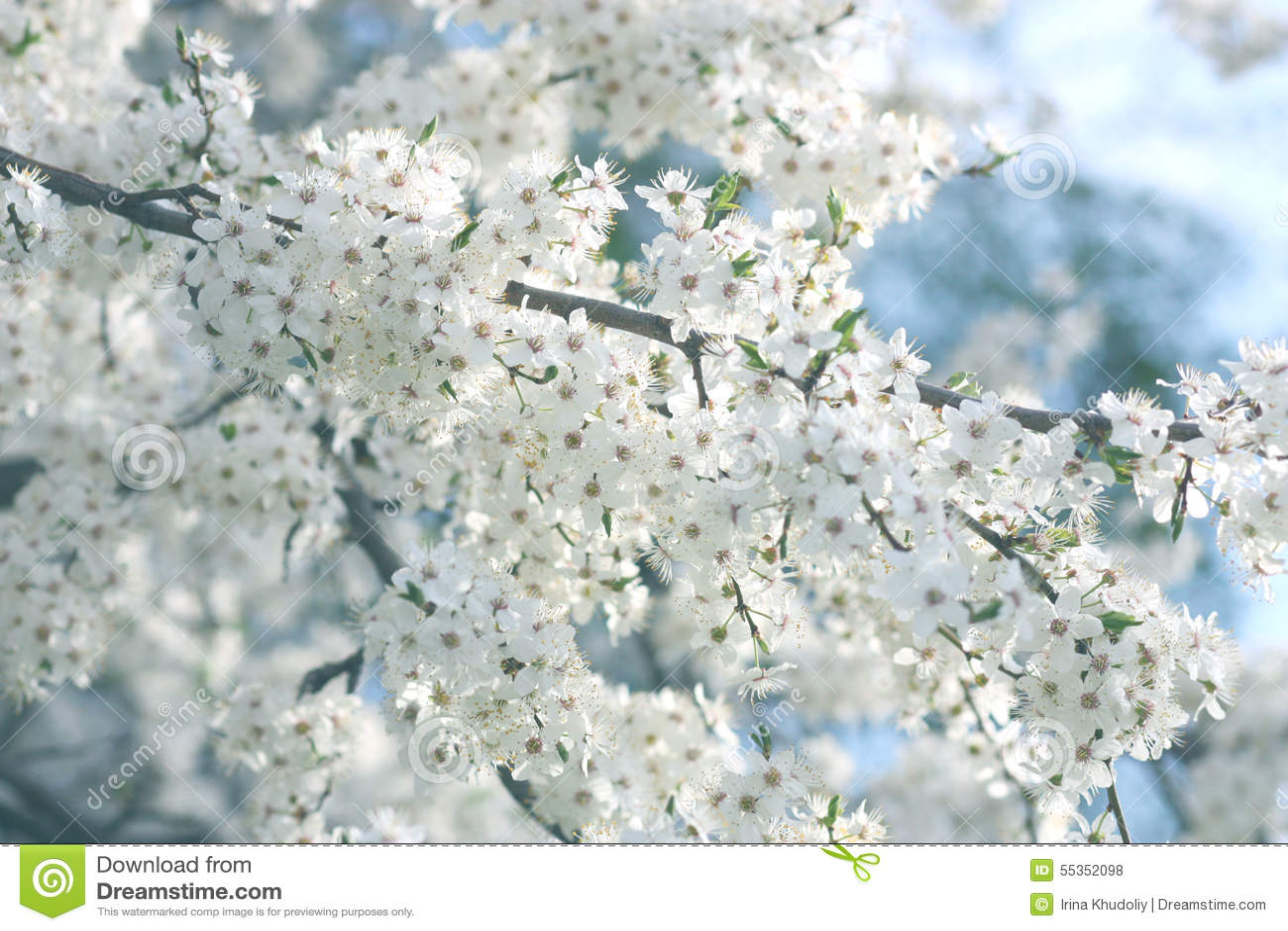 Fiori della ciliegia