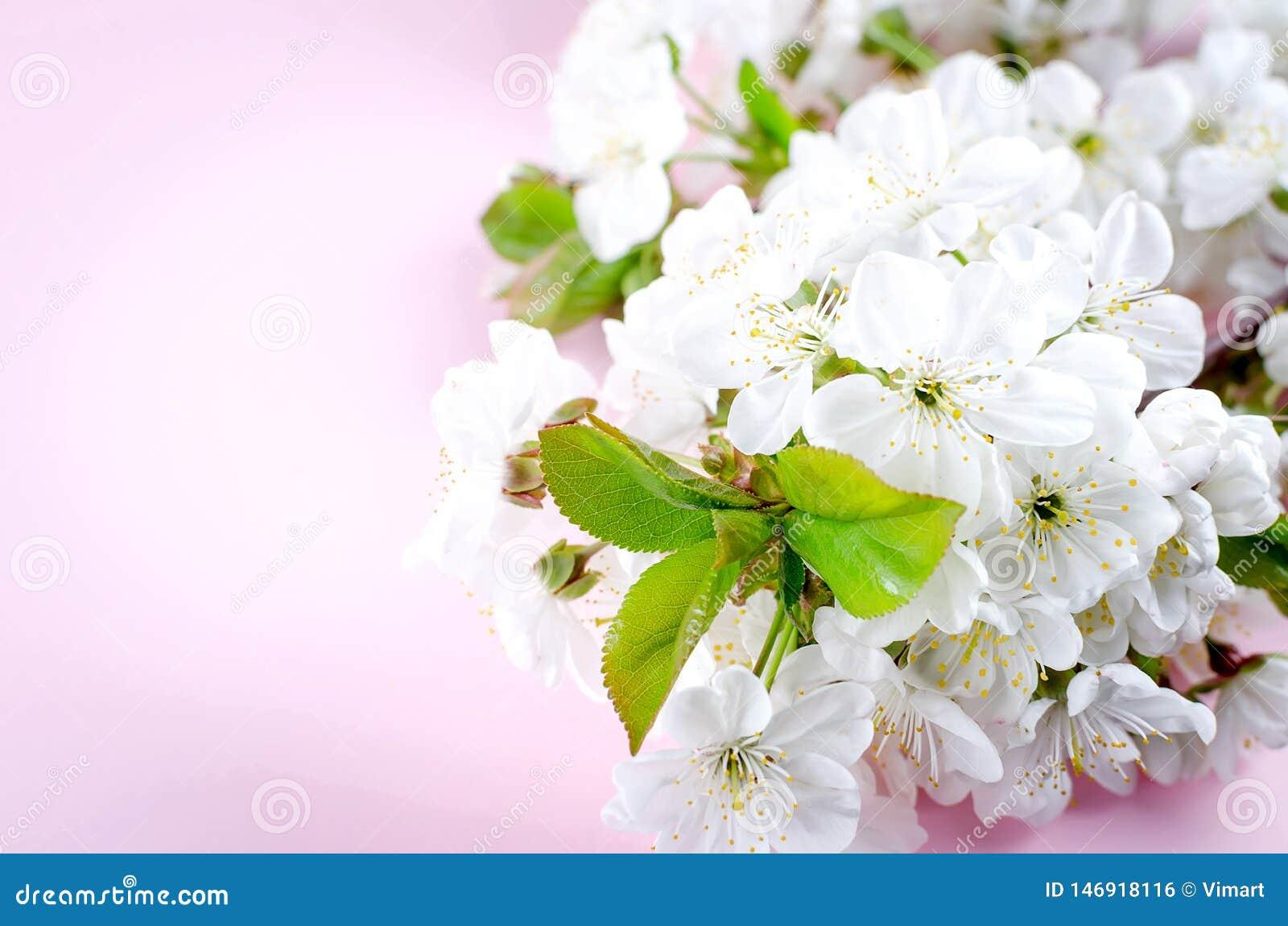 Fiori della ciliegia della molla su fondo rosa-chiaro
