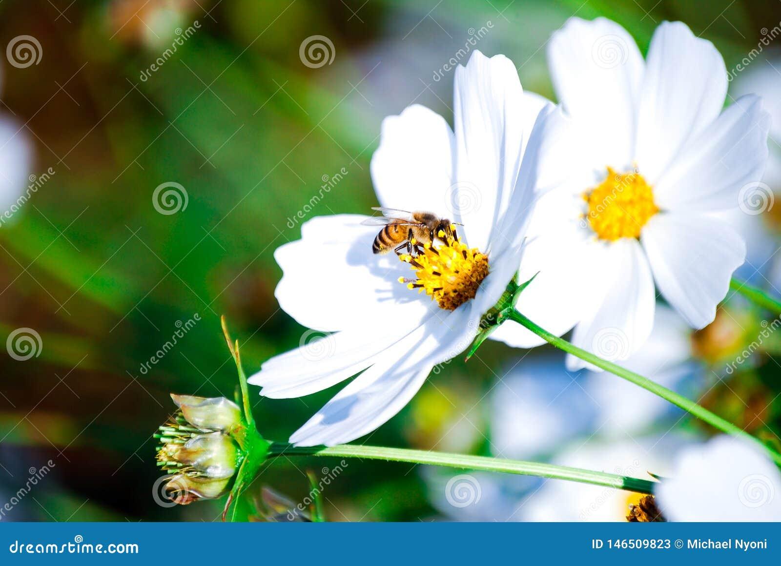 Fiori della flora, ape occupata