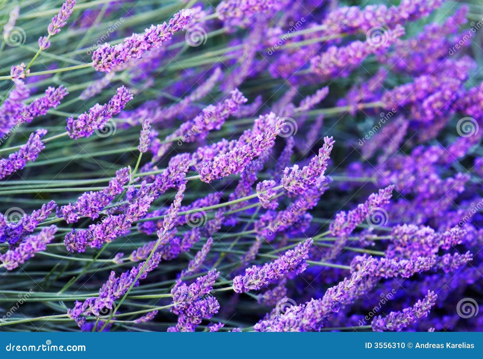 Fiori della lavanda fotografia stock immagine di colorful for Fiori di lavanda
