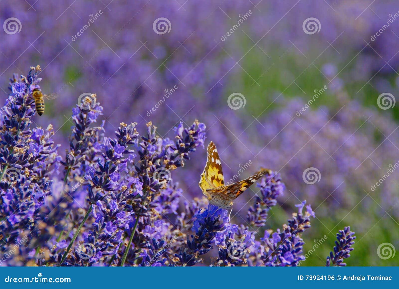 fiori della lavanda con l 39 ape e la farfalla fotografia