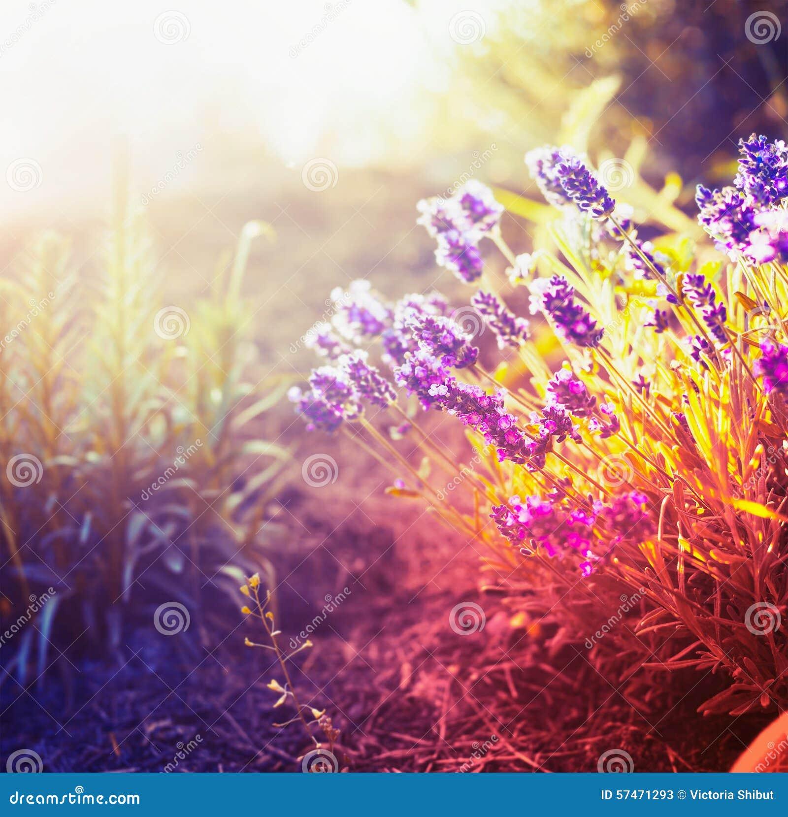 Fiori della lavanda nel giardino o nel parco di autunno for Fiori di lavanda