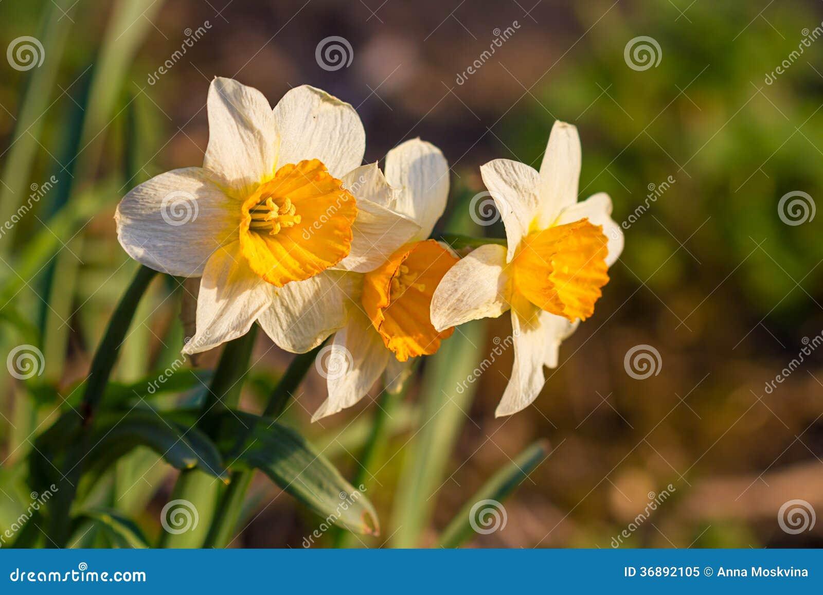 Download Fiori Della Molla Del Narciso Del Narciso Immagine Stock - Immagine di floreale, nasals: 36892105