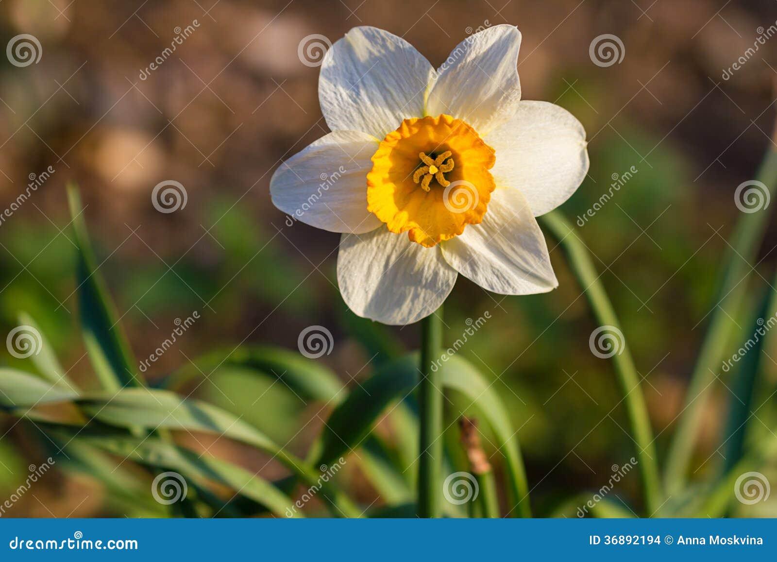 Download Fiori Della Molla Del Narciso Del Narciso Fotografia Stock - Immagine di esterno, pasqua: 36892194