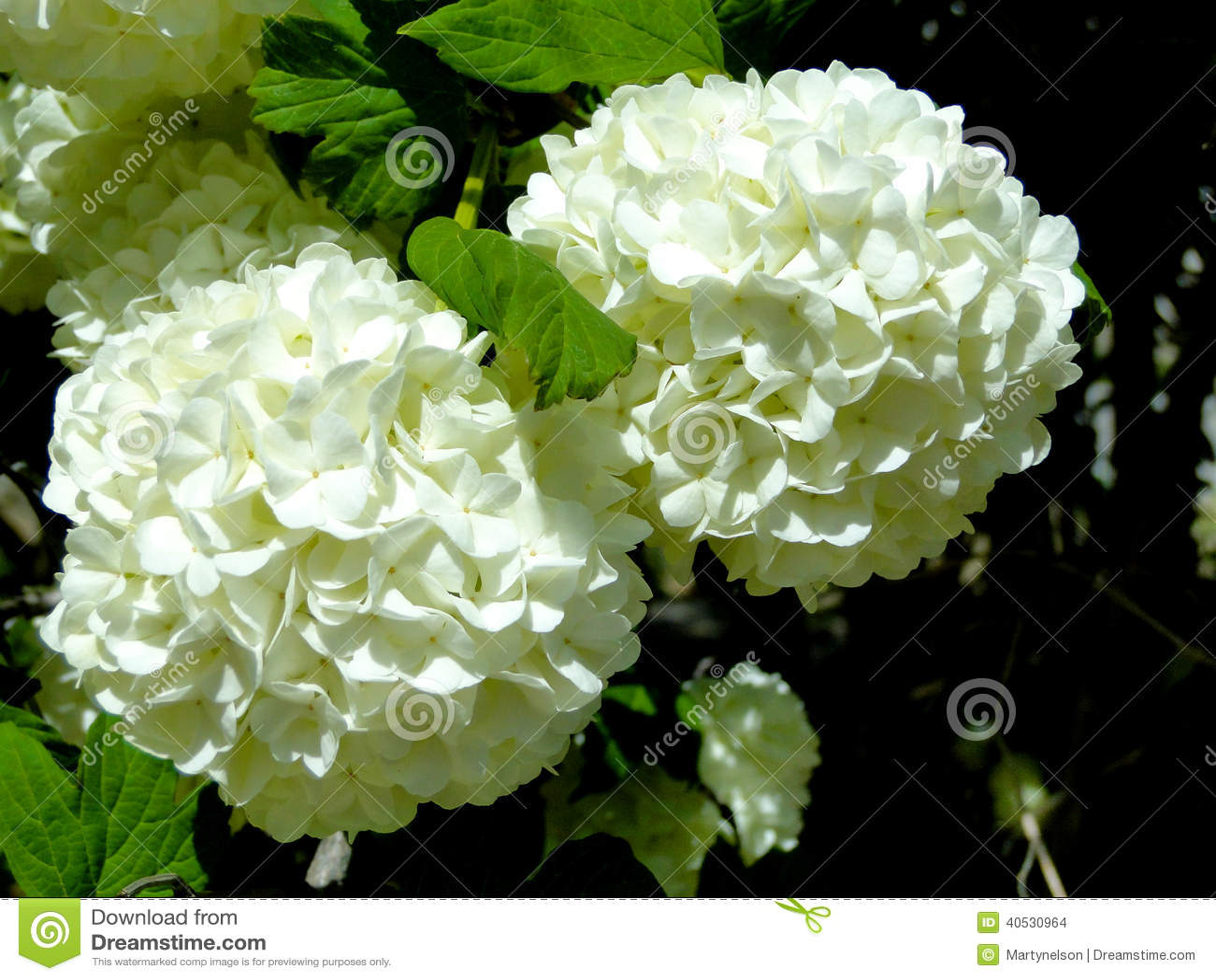 Fiori A Palla.Fiori Della Palla Di Neve Fotografia Stock Immagine Di Springtime