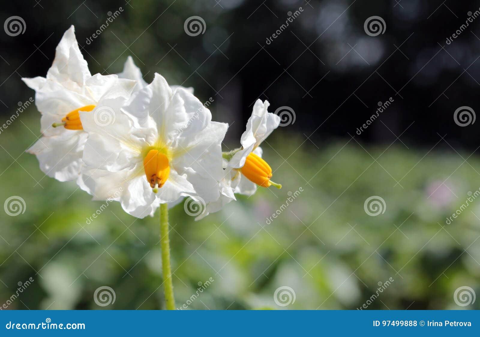 Fiori della patata nel giardino