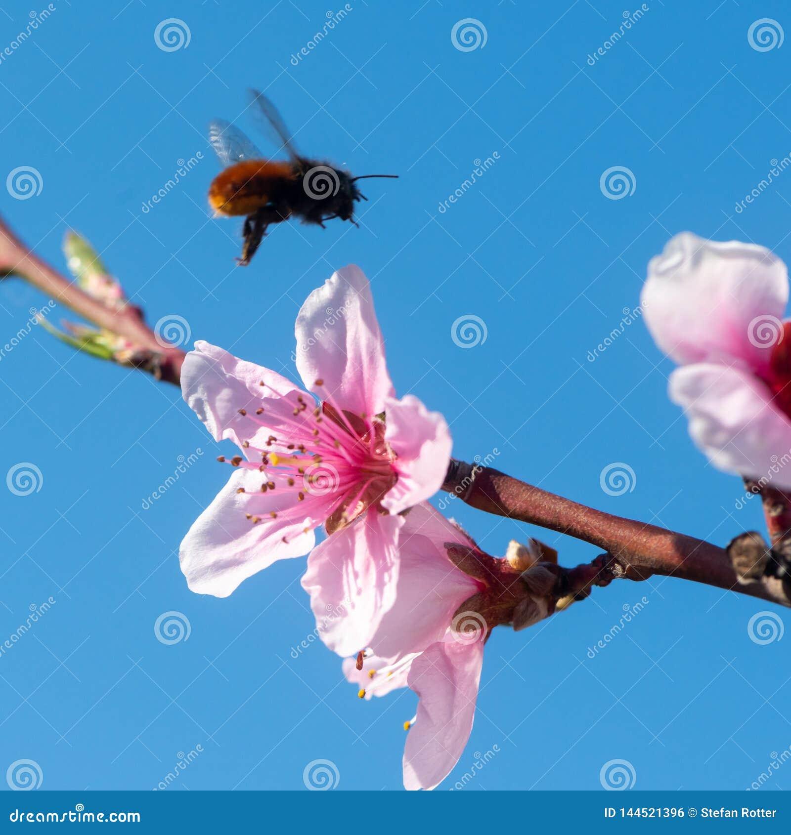 Fiori della pesca contro cielo blu con l ape di volo