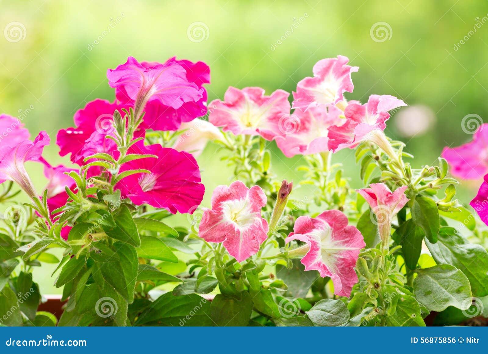 Fiori della petunia in un giardino