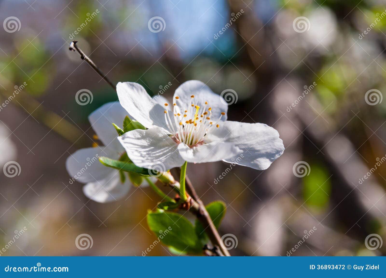 Download Fiori Della Primavera Della Mandorla Fotografia Stock - Immagine di mattina, fresco: 36893472