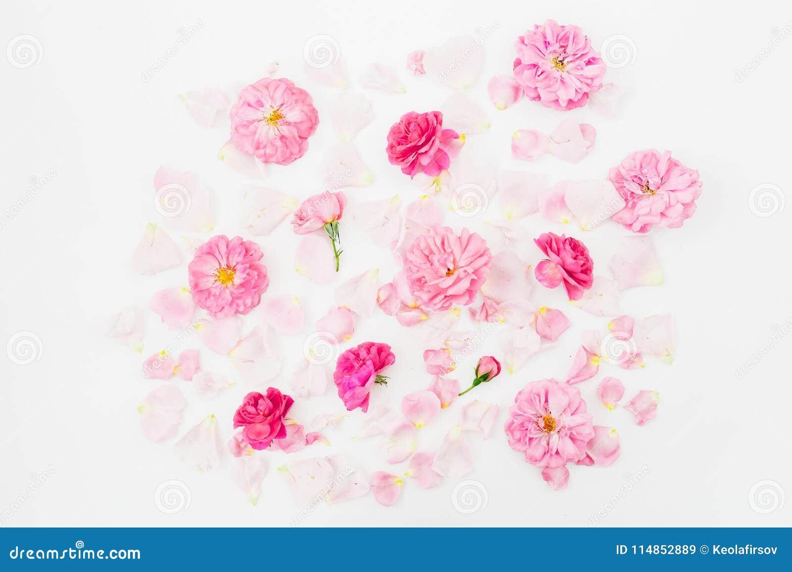 Fiori della rosa di rosa su fondo bianco Disposizione piana, vista superiore Struttura del modello di fiori