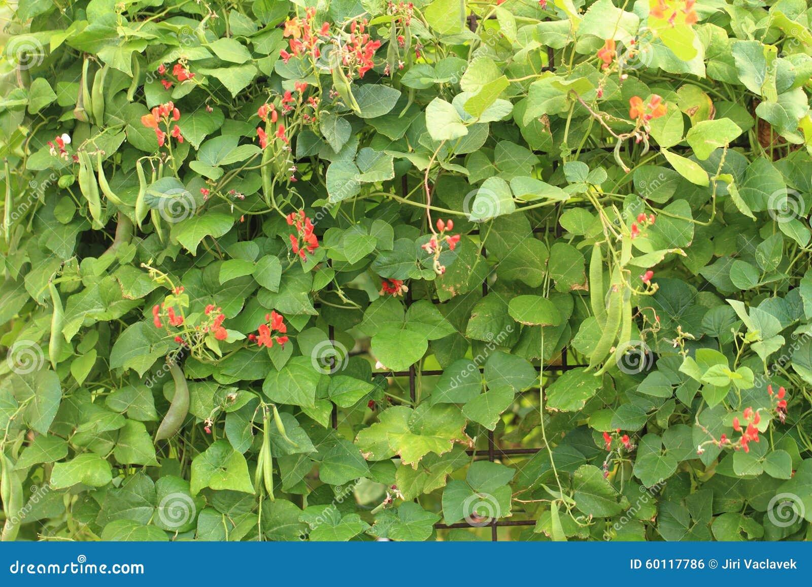 Fiori delle piante di fagioli fotografia stock immagine for Piante di lamponi acquisto
