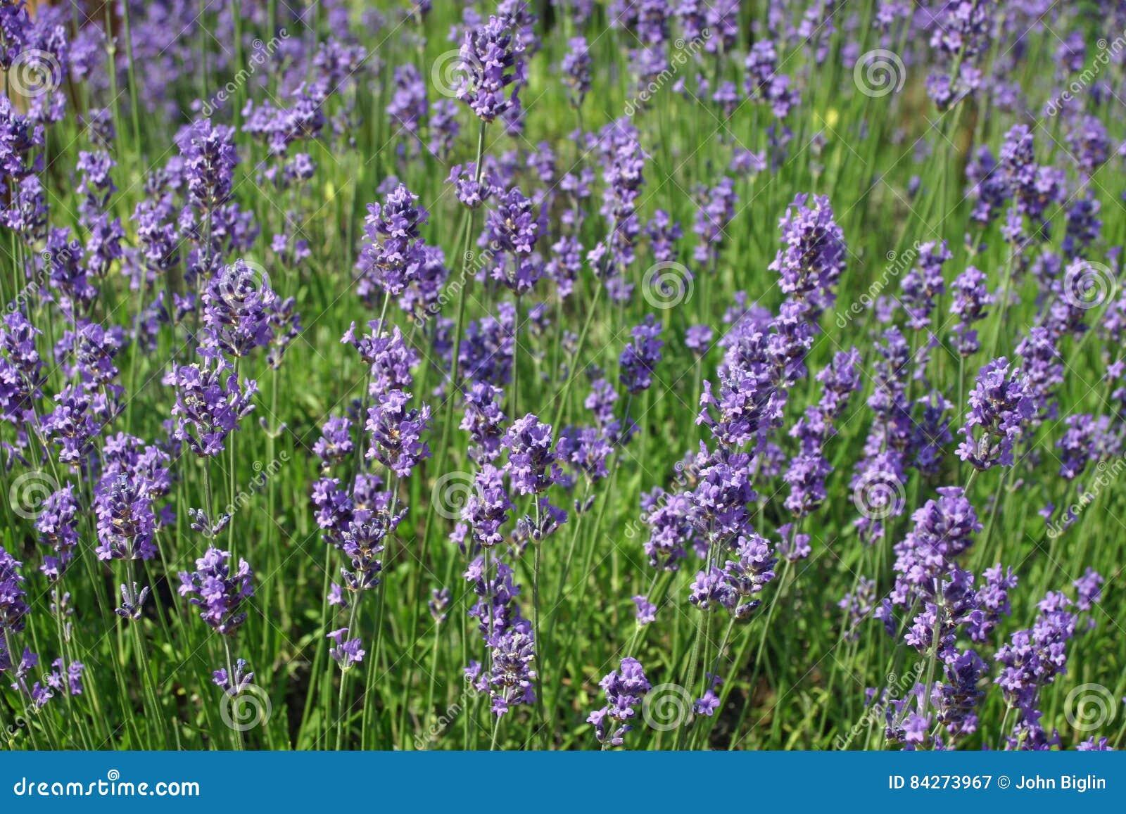 Fiori di angustifolia del lavandula della lavanda immagine for Fiori di lavanda