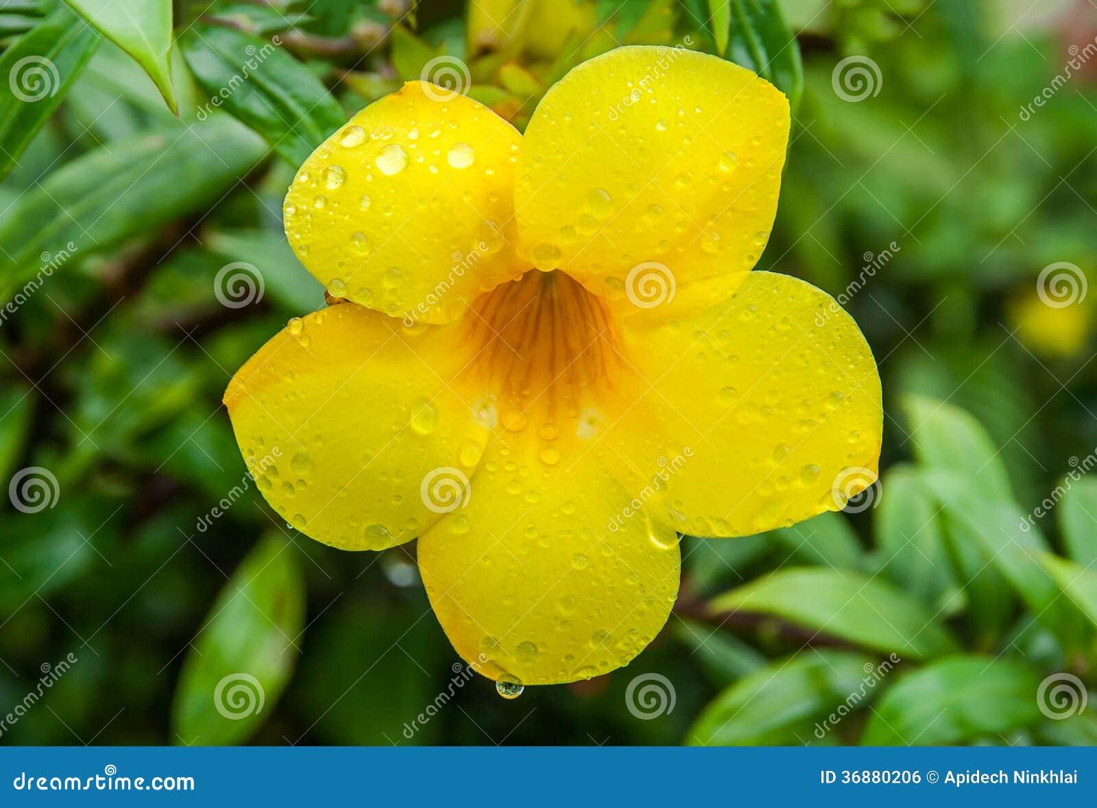 Download Fiori Di Cathartica Del Allamanda Nel Giorno Piovoso Fotografia Stock - Immagine di dewdrops, verde: 36880206