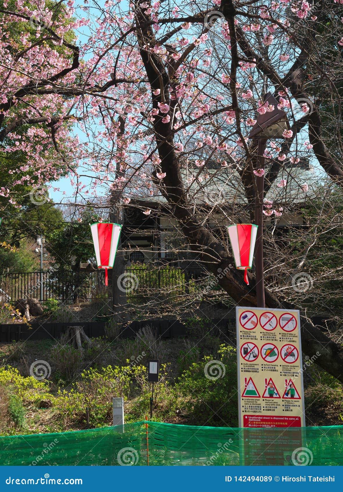 Fiori di ciliegia nel parco di Ueno, Tokyo, Giappone