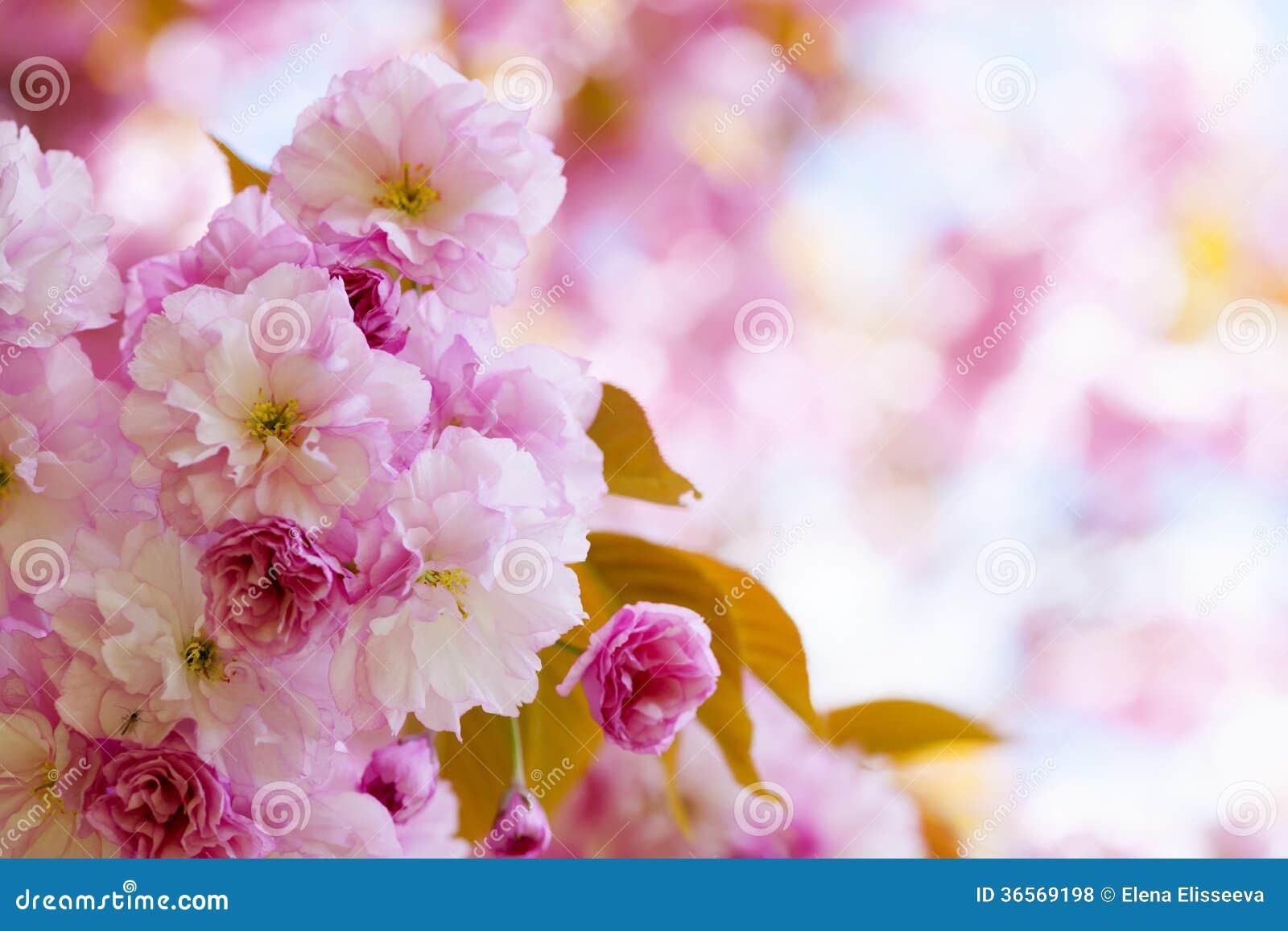 Fiori Di Ciliegia Rosa Nel Frutteto Di Primavera ...