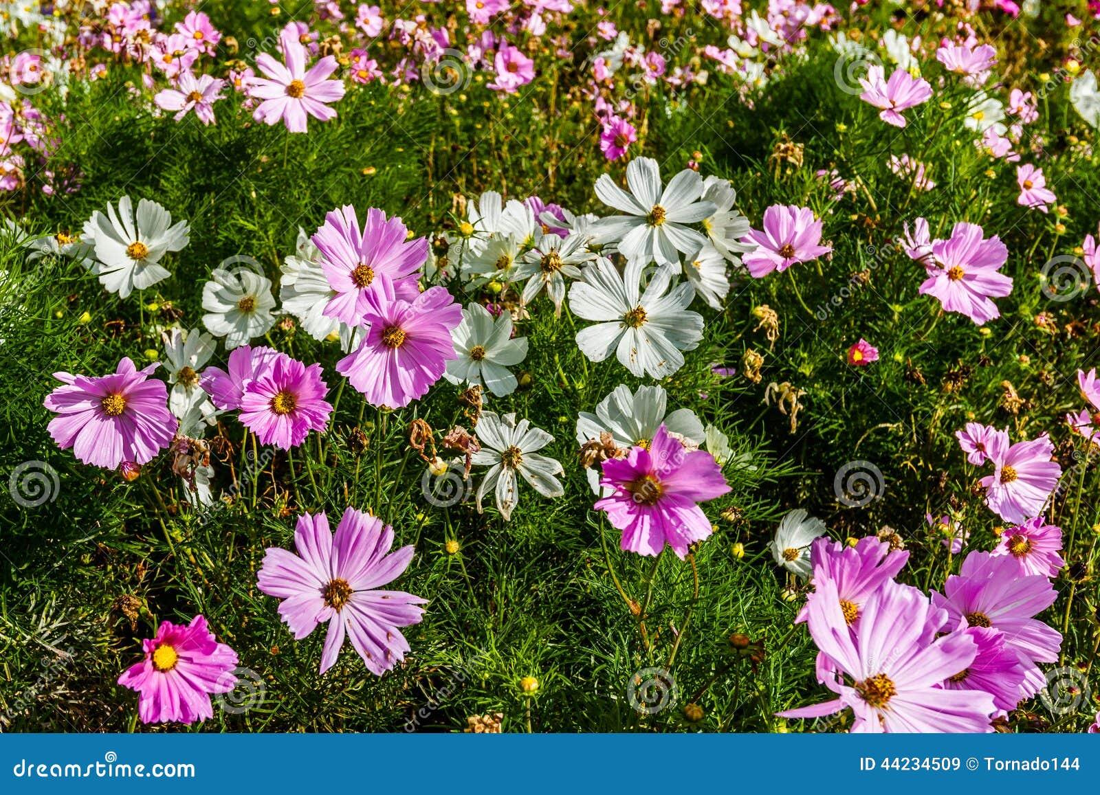 Fiori Di Cosmea Immagine Stock Immagine Di Viola Bellezza 44234509
