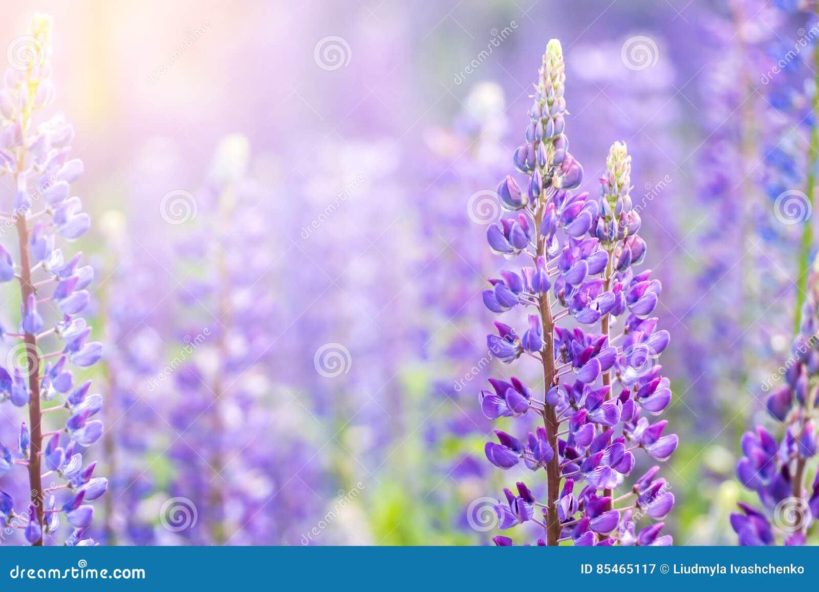 Fiori di fioritura del lupino un campo dei lupini fiori - Fiori da giardino primavera estate ...