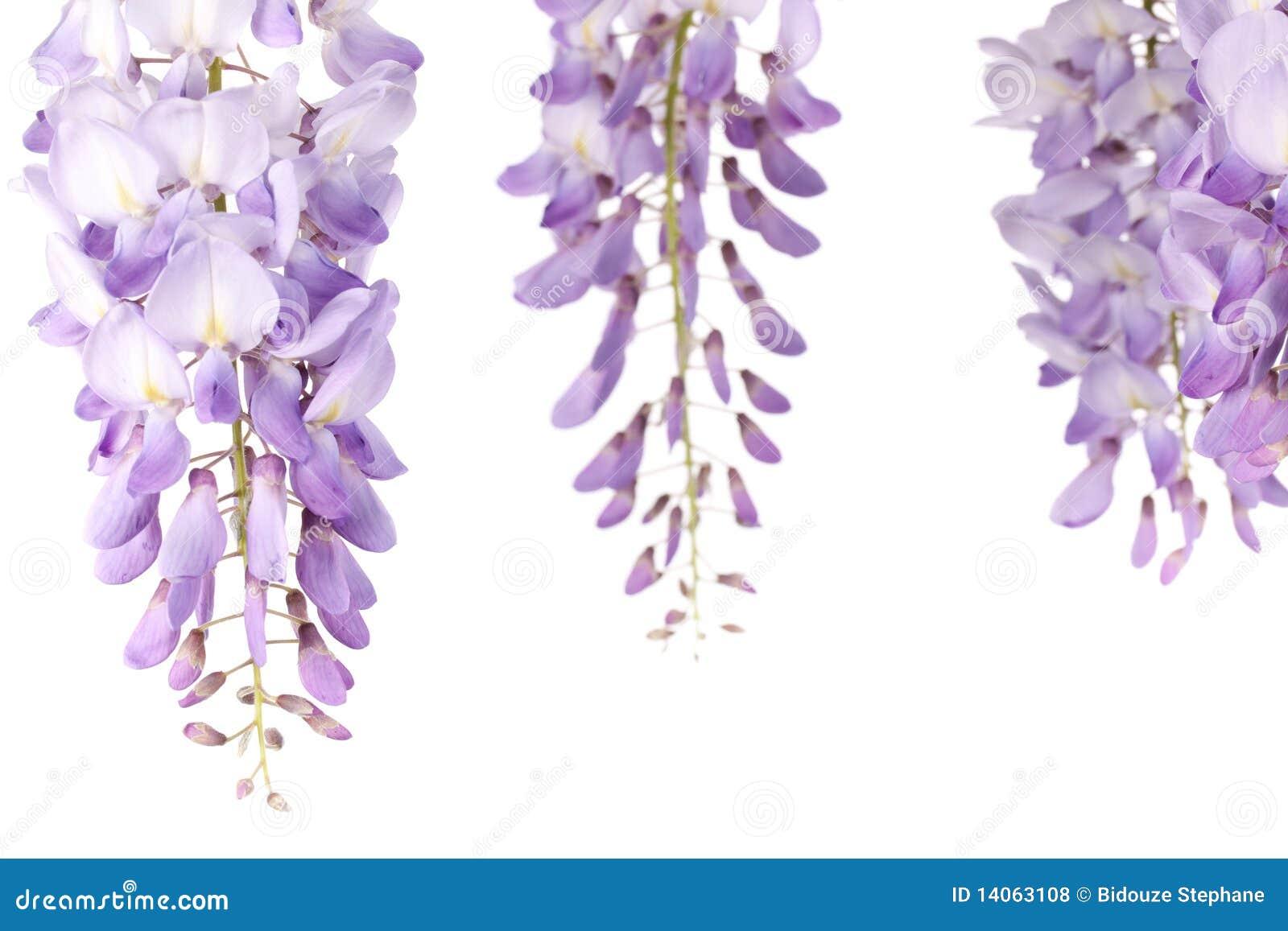 Fiori di glicine fotografia stock immagine di fiore for Glicine disegno