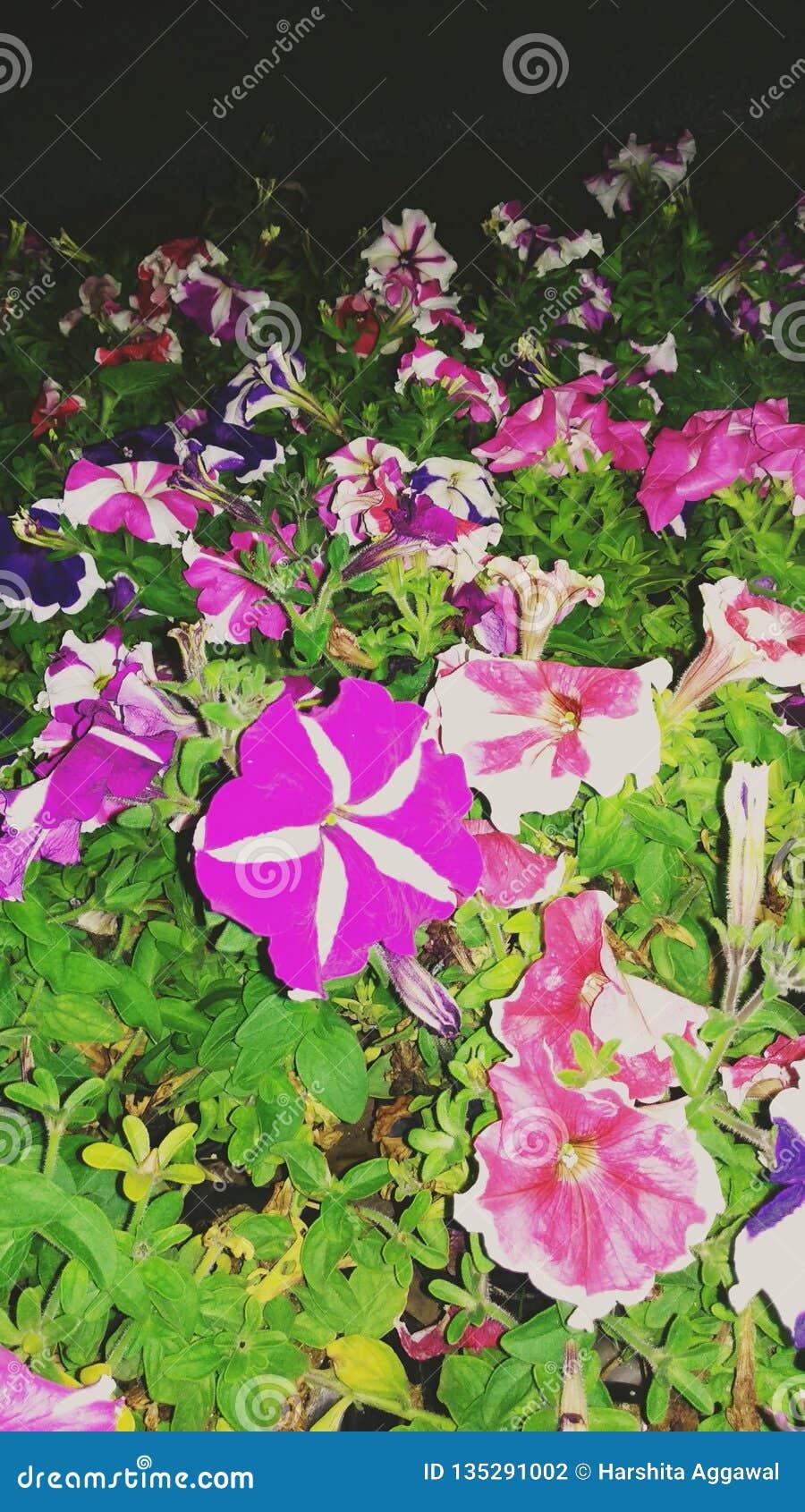 Fiori di hybrida della petunia