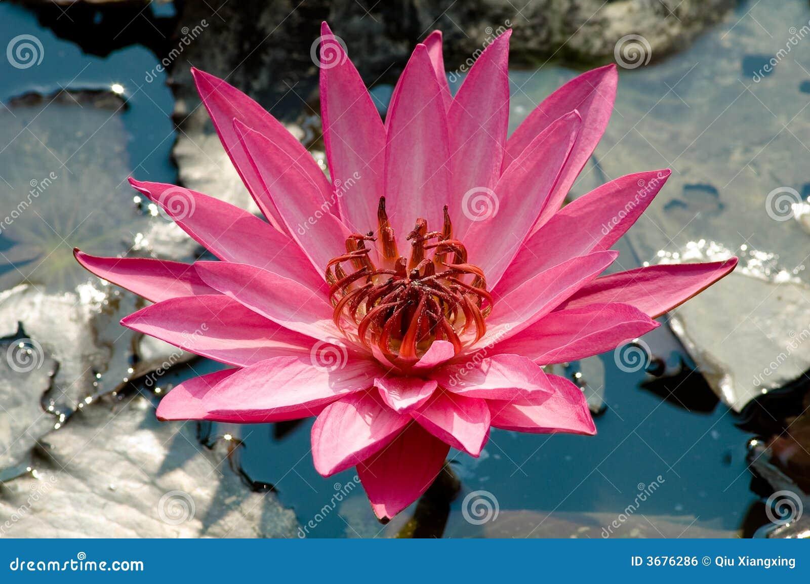 Download Fiori di loto fotografia stock. Immagine di viola, piante - 3676286