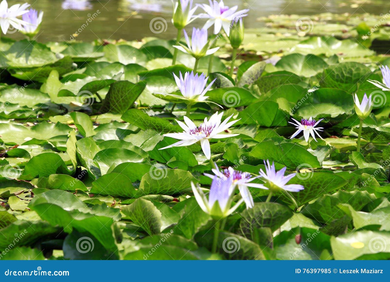 fiori di loto in stagno fotografia stock immagine 76397985