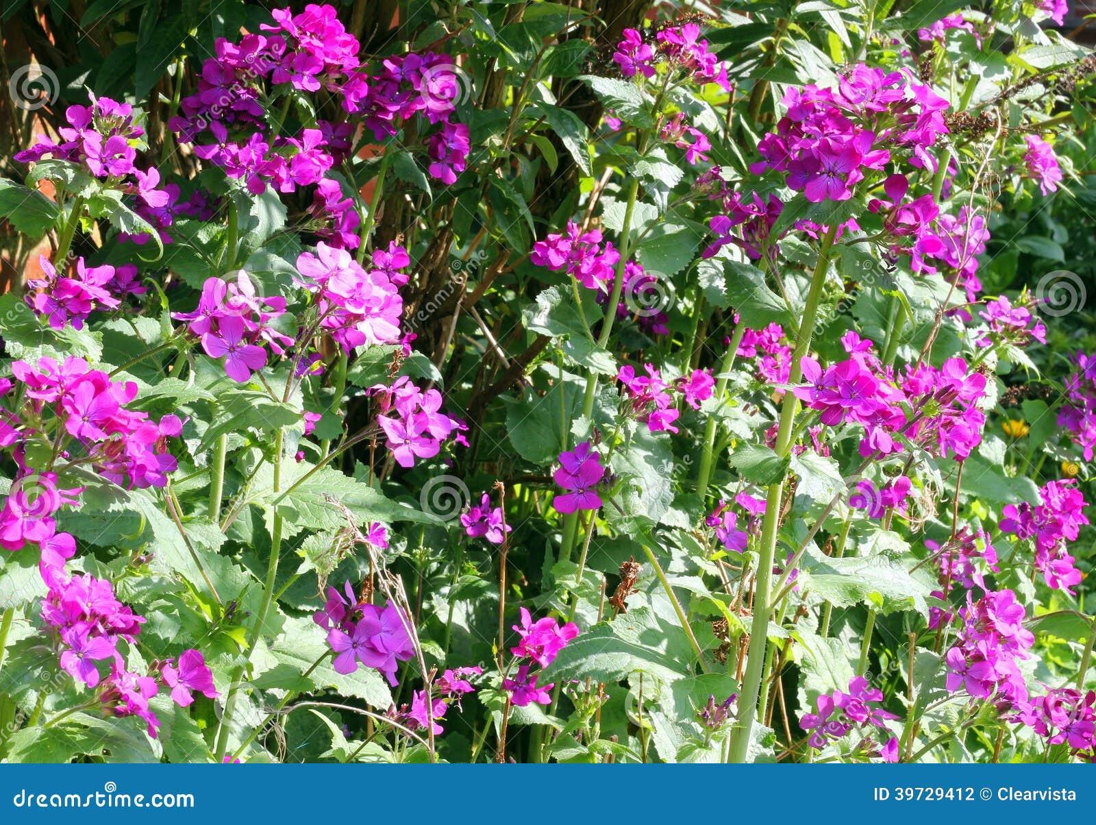Fiori di onest o di lunaria nel giardino - Fiori di giardino ...