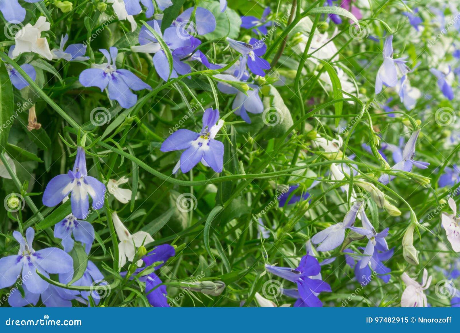 Fiori di trascinamento bianchi e del blu di Lobelia dello zaffiro o Lobelia di bordo, Lobelia del giardino