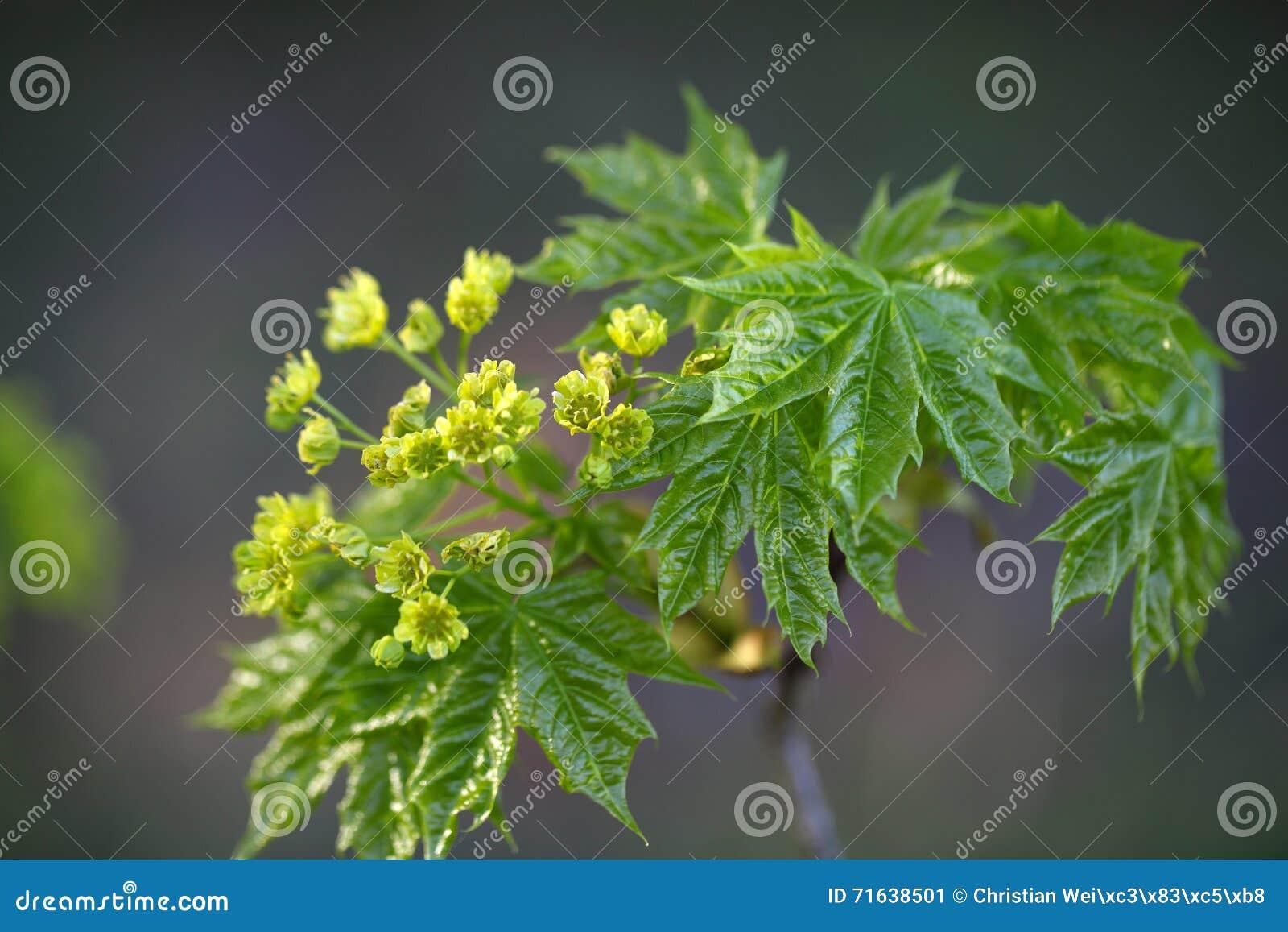 Fiori di un albero di acero riccio immagine stock for Acero riccio